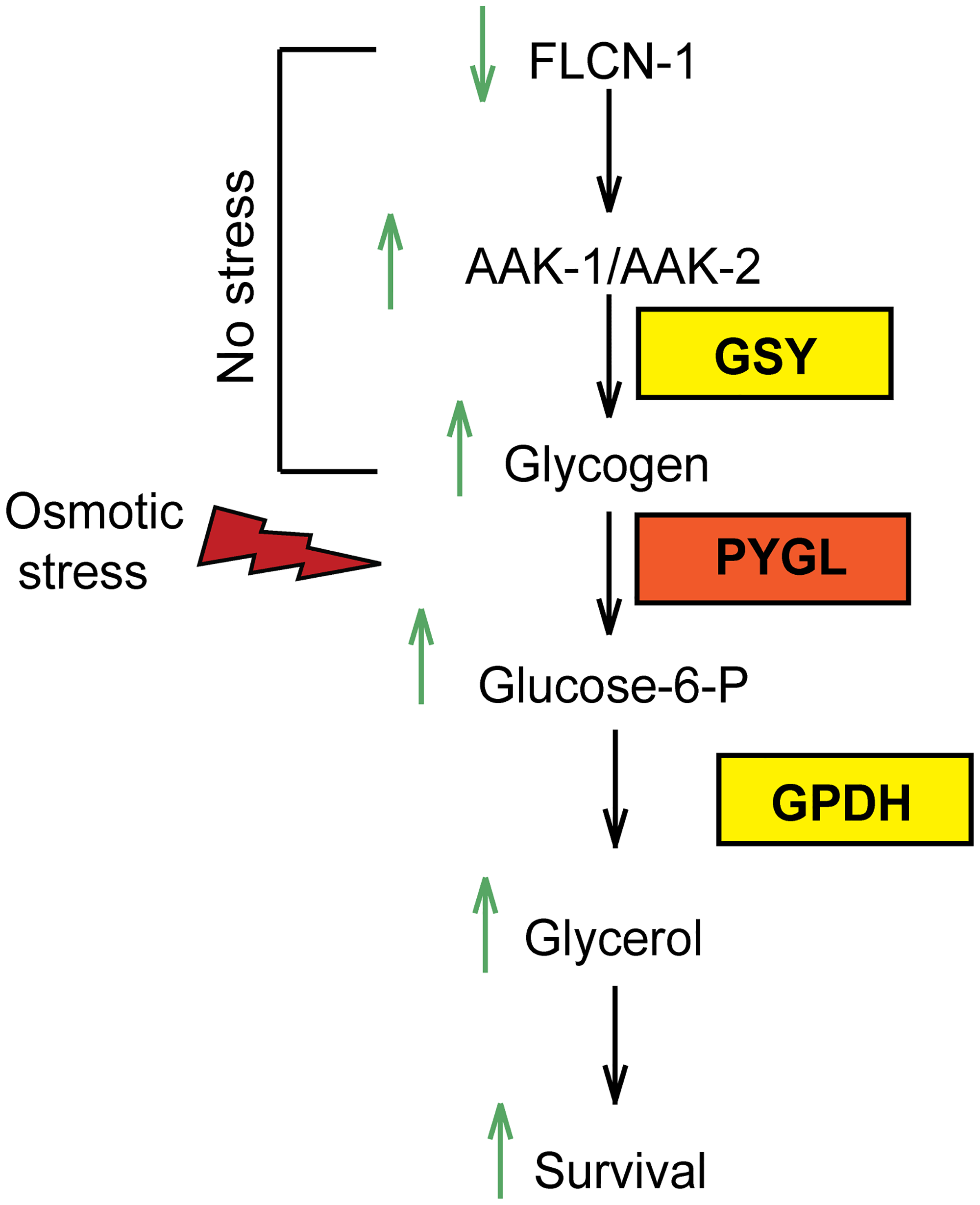 Graphical representation of FLCN-1/AMPK hyperosmotic stress resistance pathway.