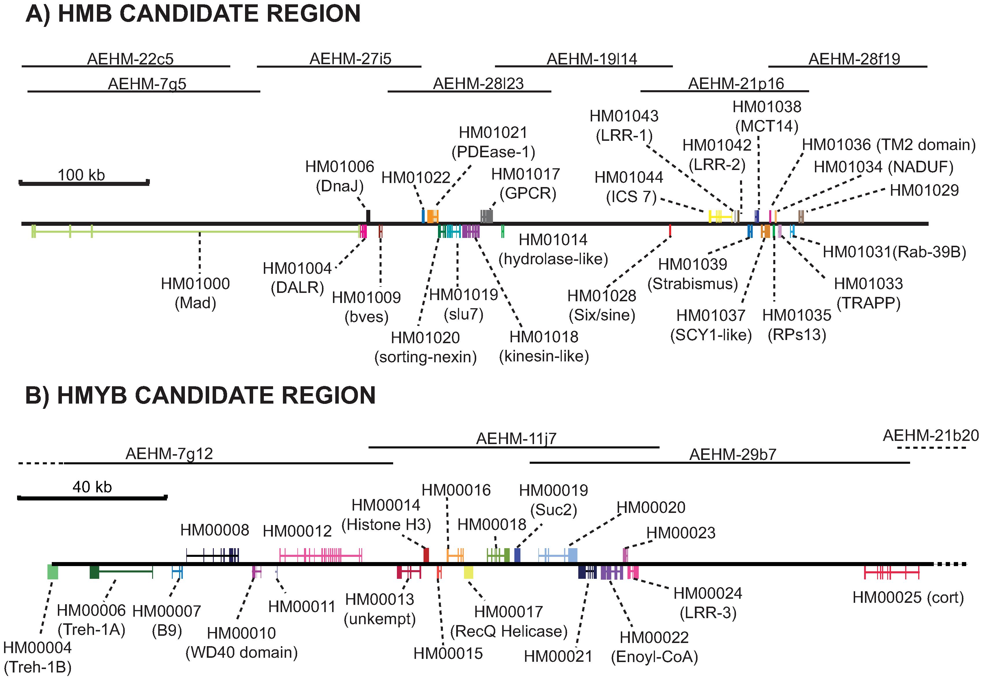 Annotation of the <i>HmB</i> and <i>HmYb</i> gene regions.