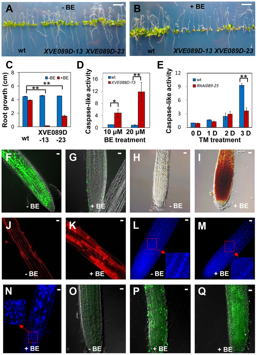 NAC089 promotes programmed cell death in plants.