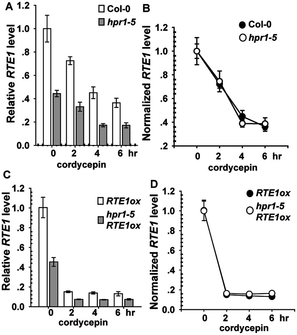 <i>RTE1</i> degradation with cordycepin treatment.