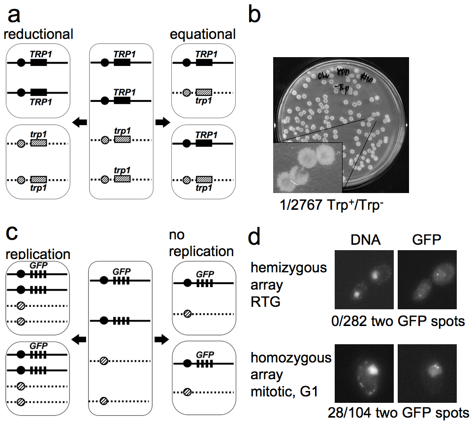 The first cell division after RTG involves equational chromosome segregation without replication.