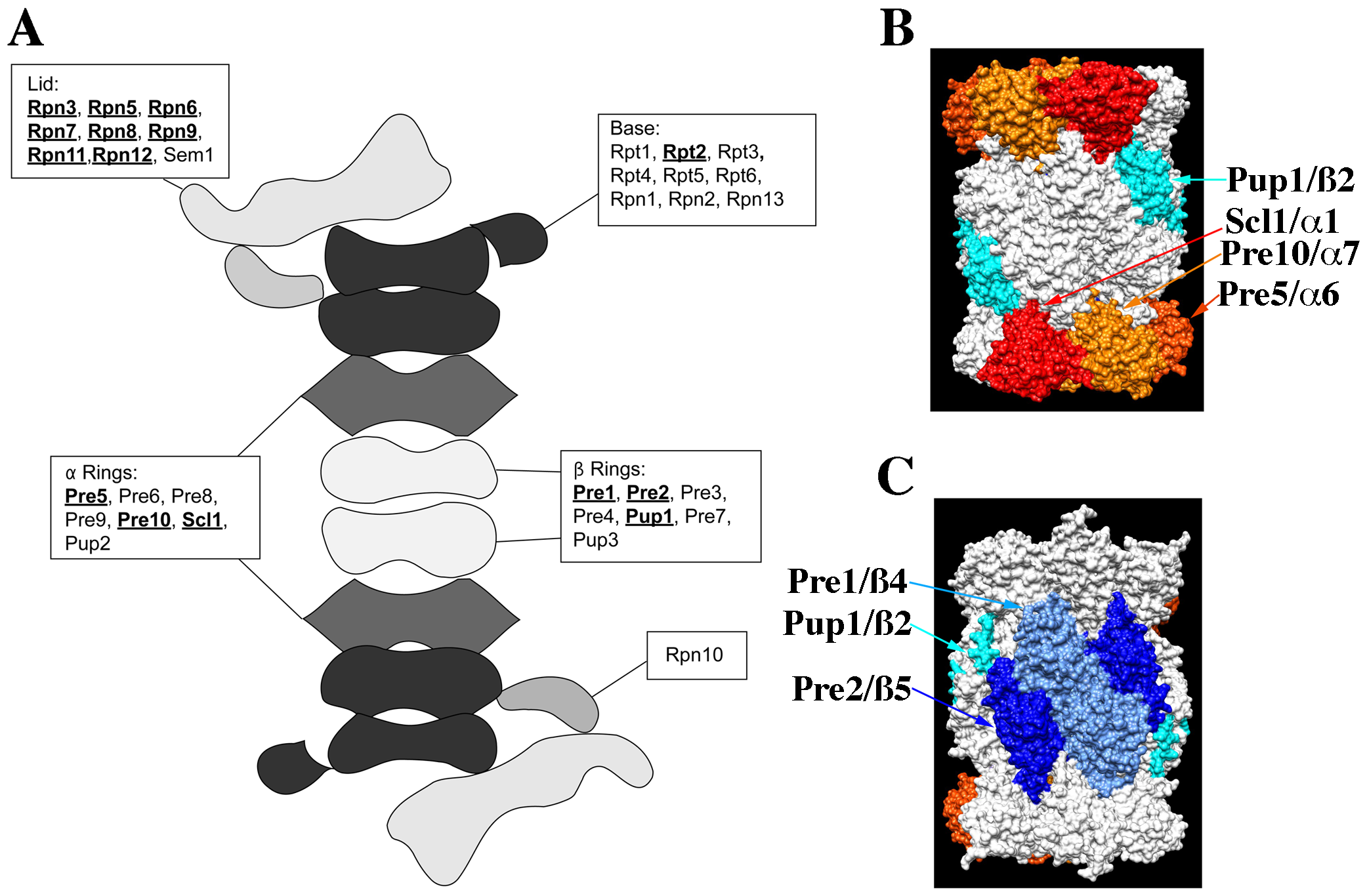 The structure of the proteasome and the locations of subunits whose null alleles are CHI with <i>act1Δ</i>.