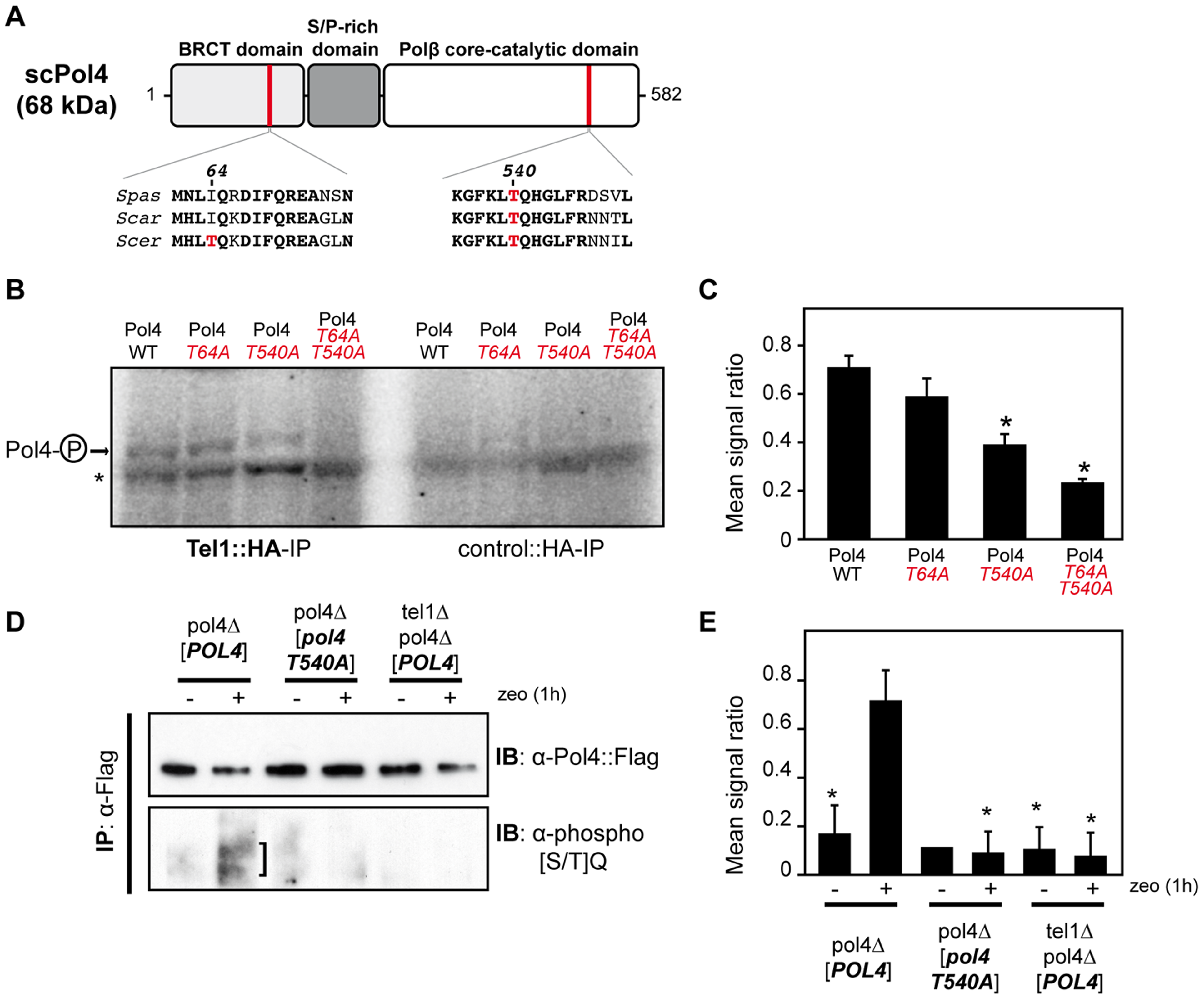 Pol4 phosphorylation by Tel1 kinase.