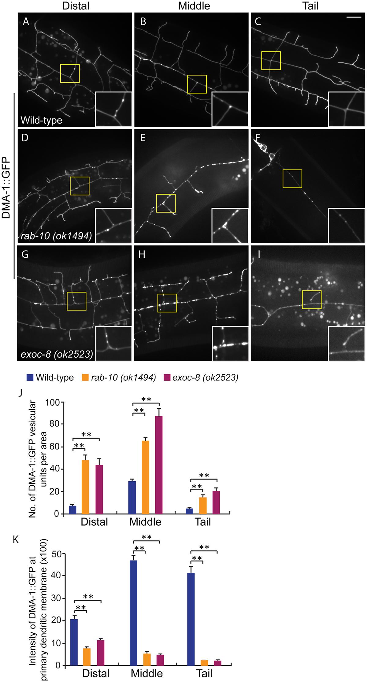 Loss of <i>rab-10</i> and <i>exoc-8</i> perturbs DMA-1 transport to dendritic membranes.