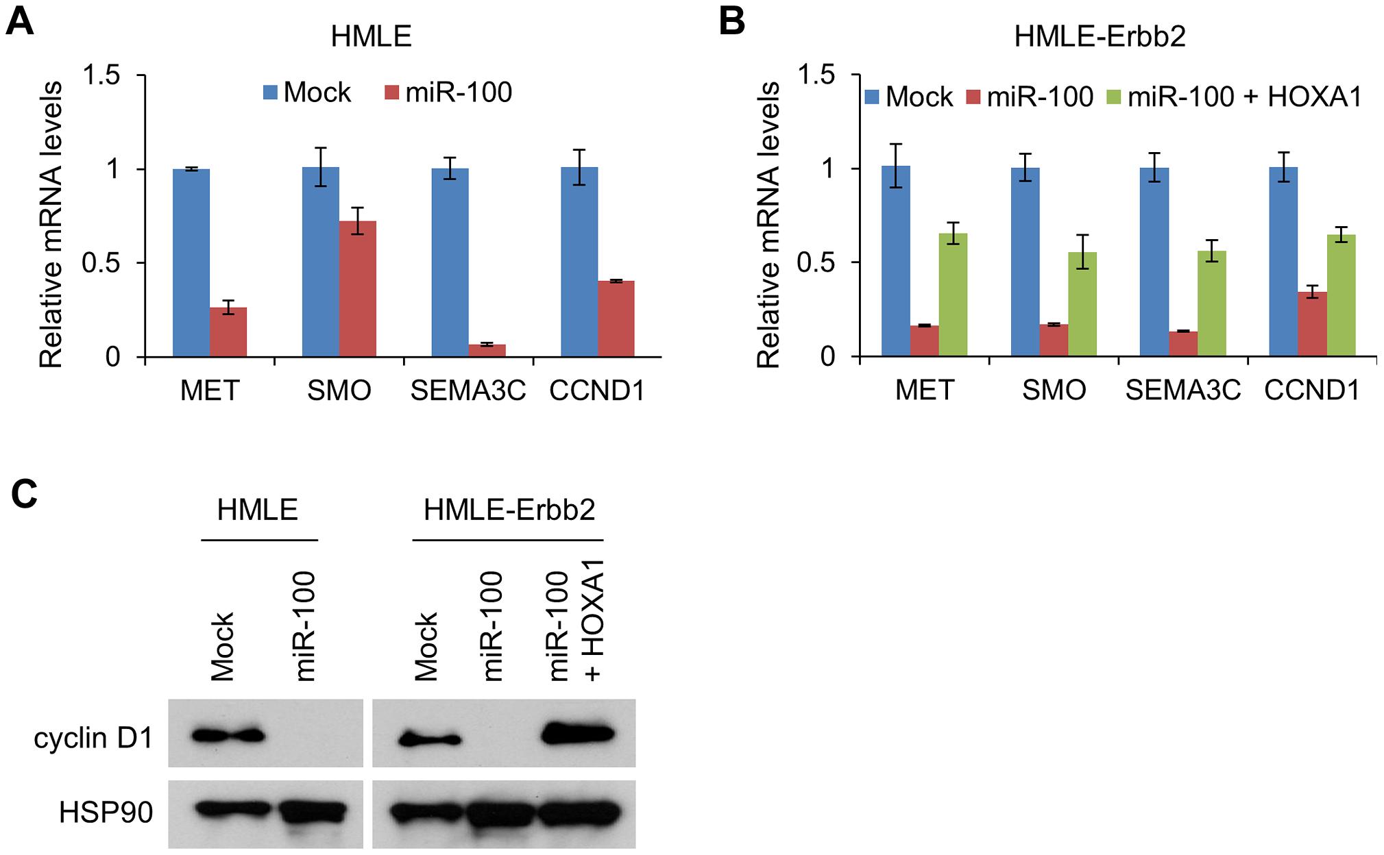 miR-100 downregulates multiple HOXA1 downstream targets involved in tumorigenesis, migration and invasion.