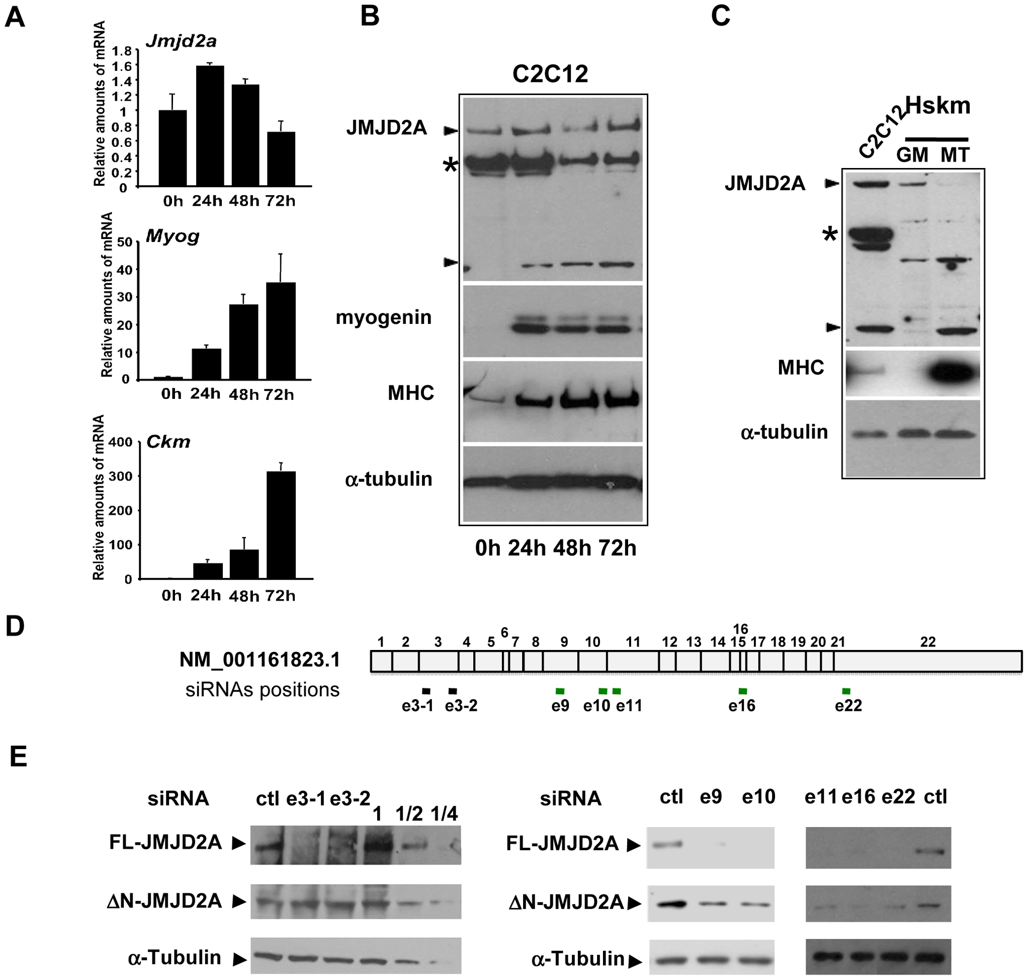 Expression of <i>JMJD2A</i> during muscle differentiation.