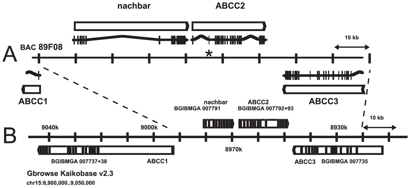 ABCC2 genomic region.