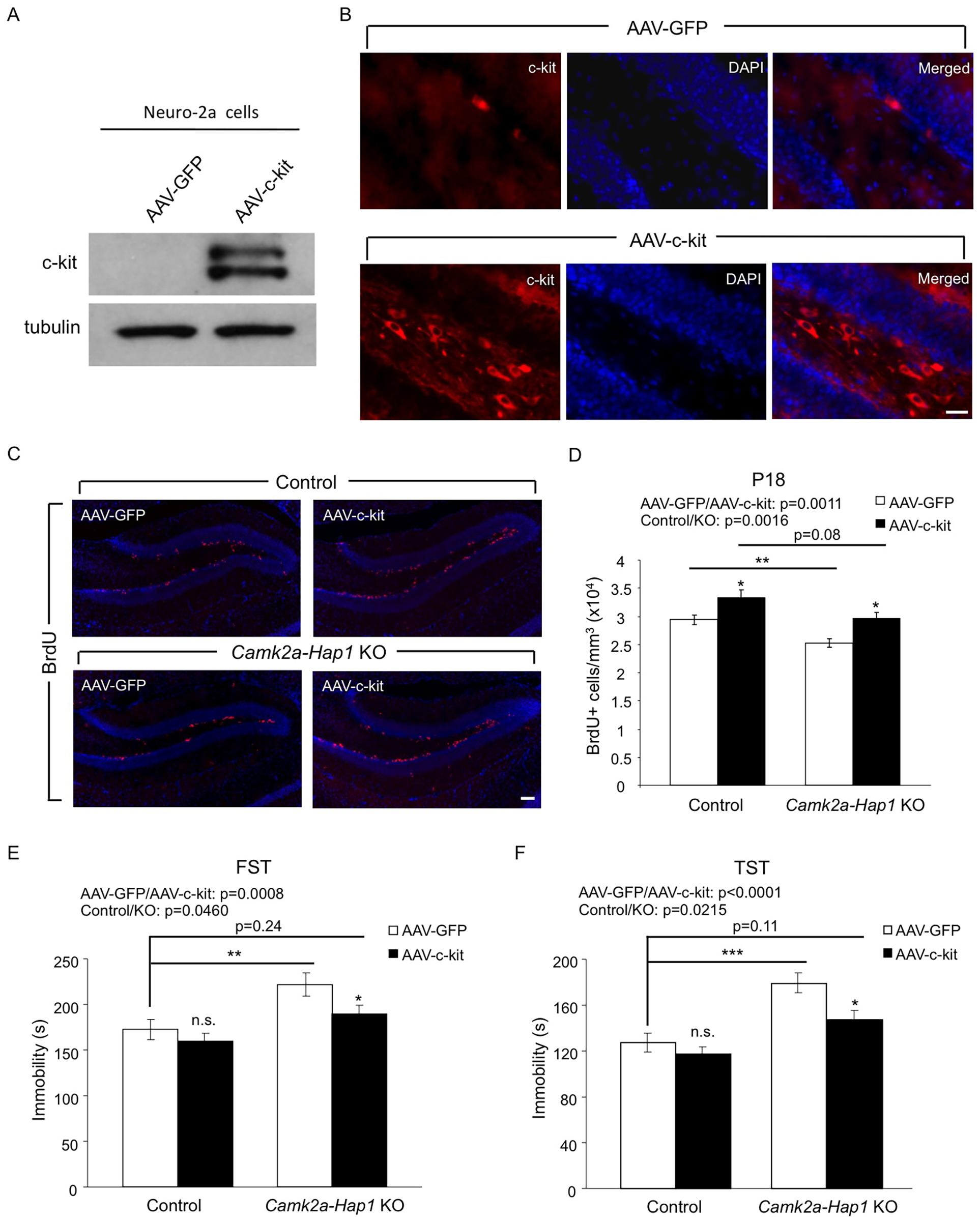 Overexpression of c-kit rescues postnatal neurogenesis defect and adult depressive-like phenotype in <i>camk2a-Hap1</i> KO mice.