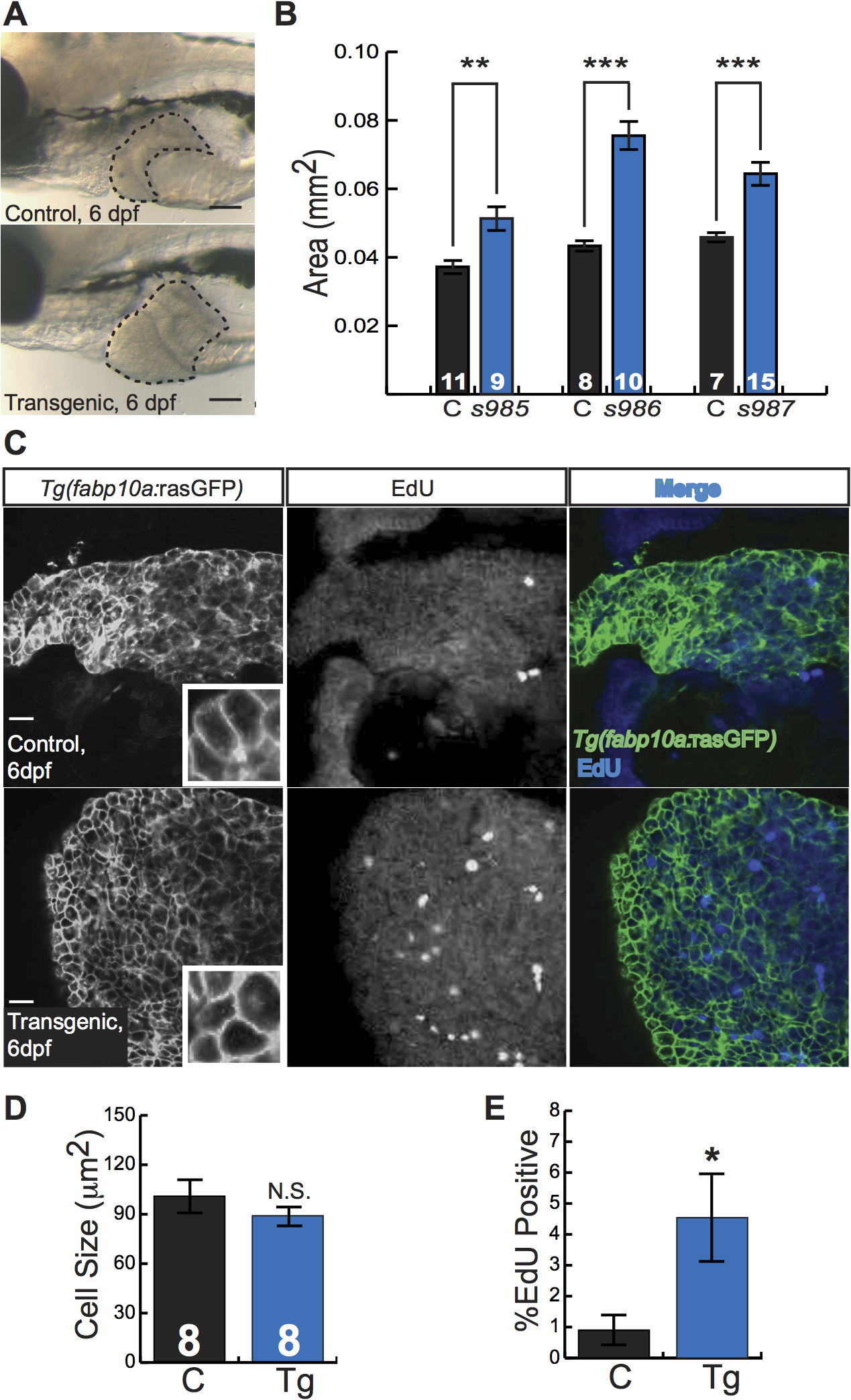 Activated β-catenin causes larval liver enlargement and increased hepatocyte proliferation.