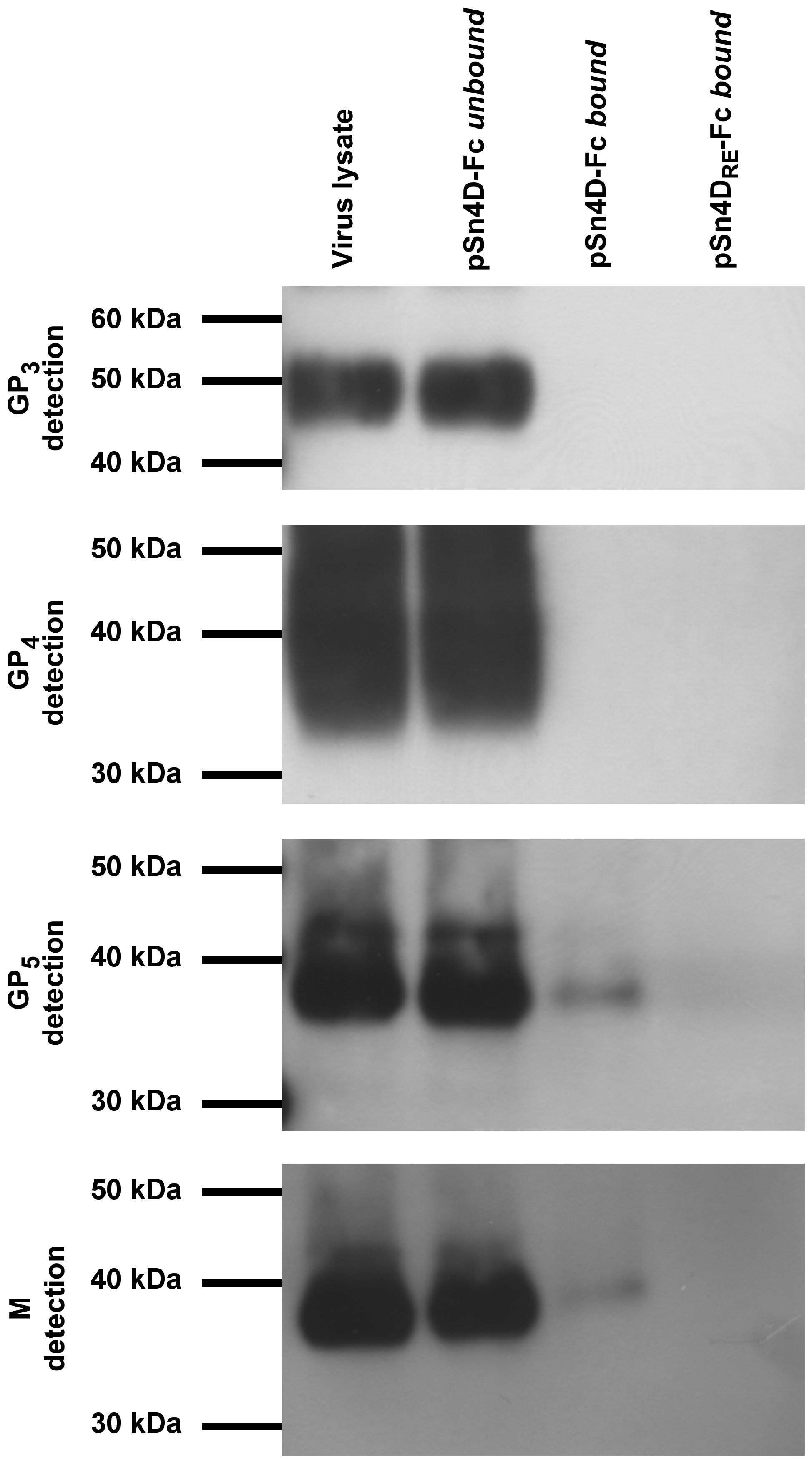 Identification of pSn-binding (glyco)protein(complexe)s of macrophage-grown PRRSV.