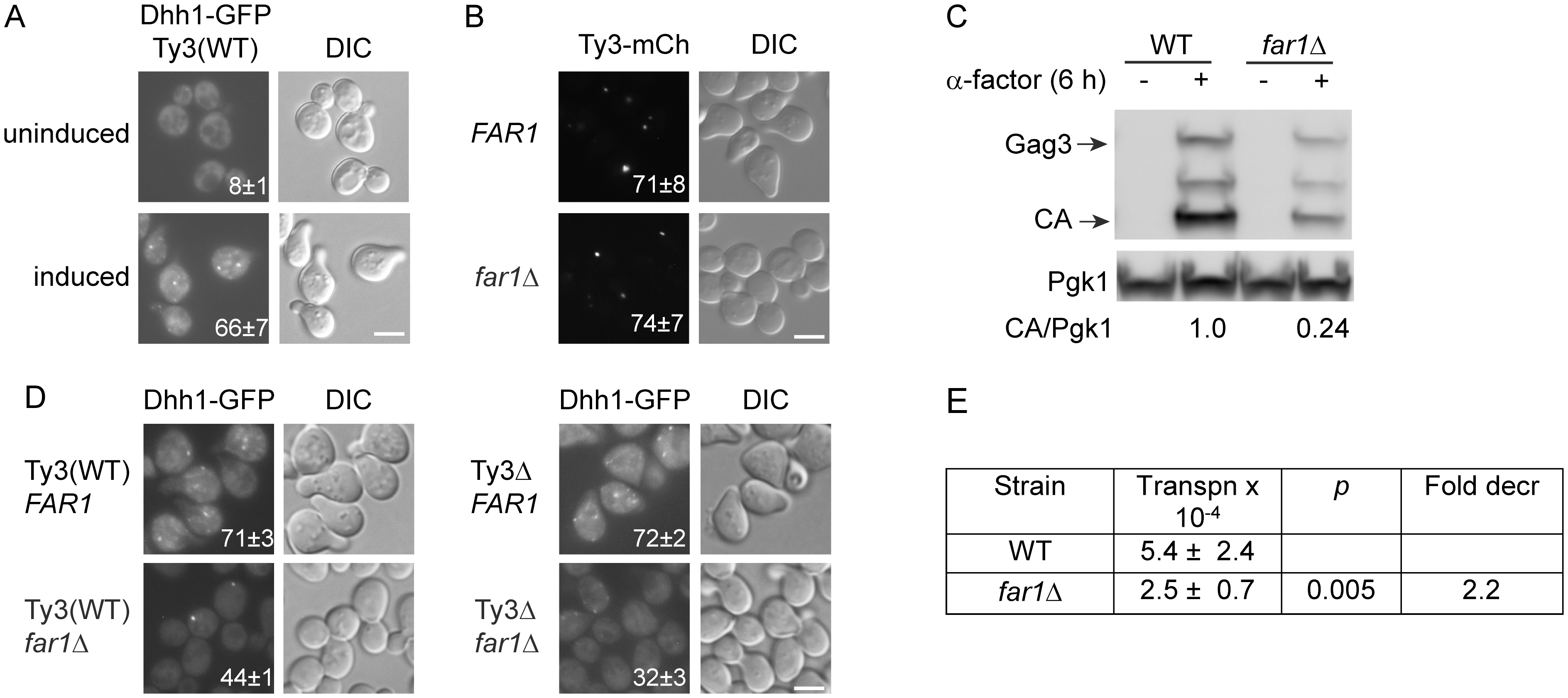 Ty3 expression enhances, but is not required for PB formation.