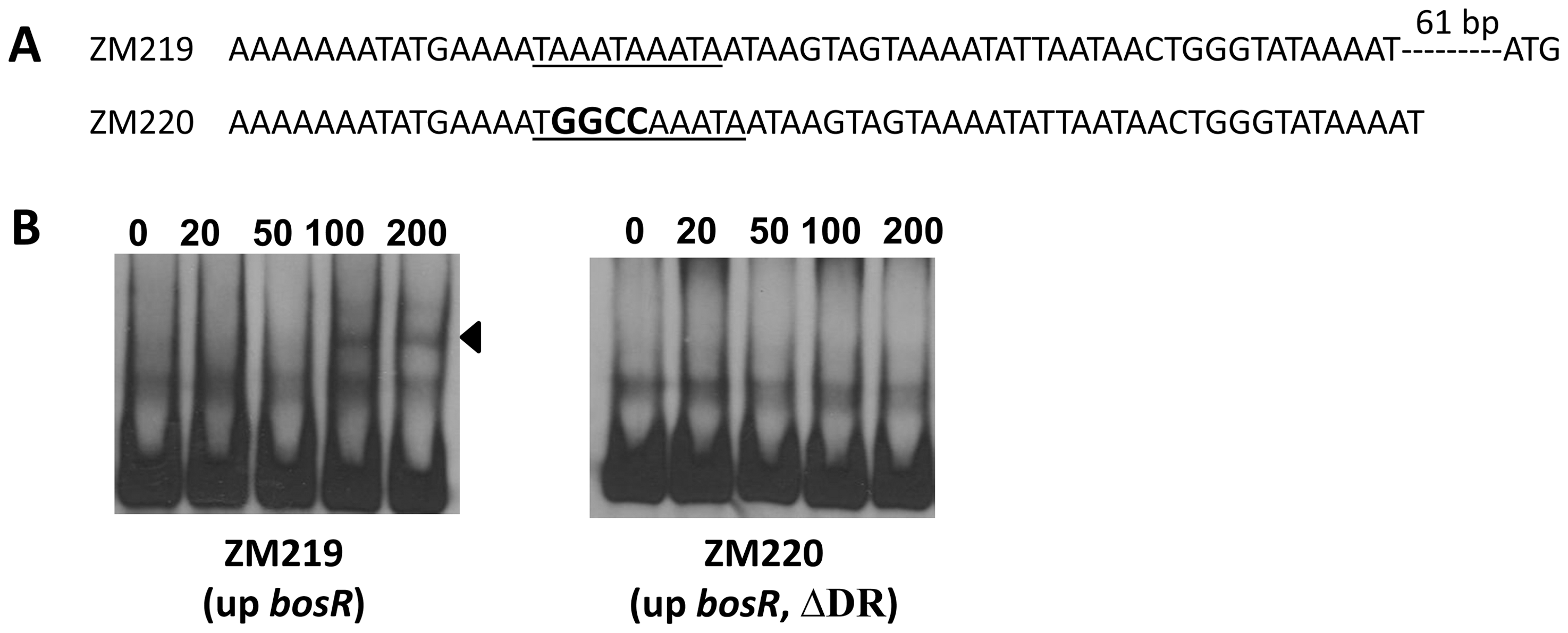 Analysis of the DR in the upstream region of <i>bosR</i>.