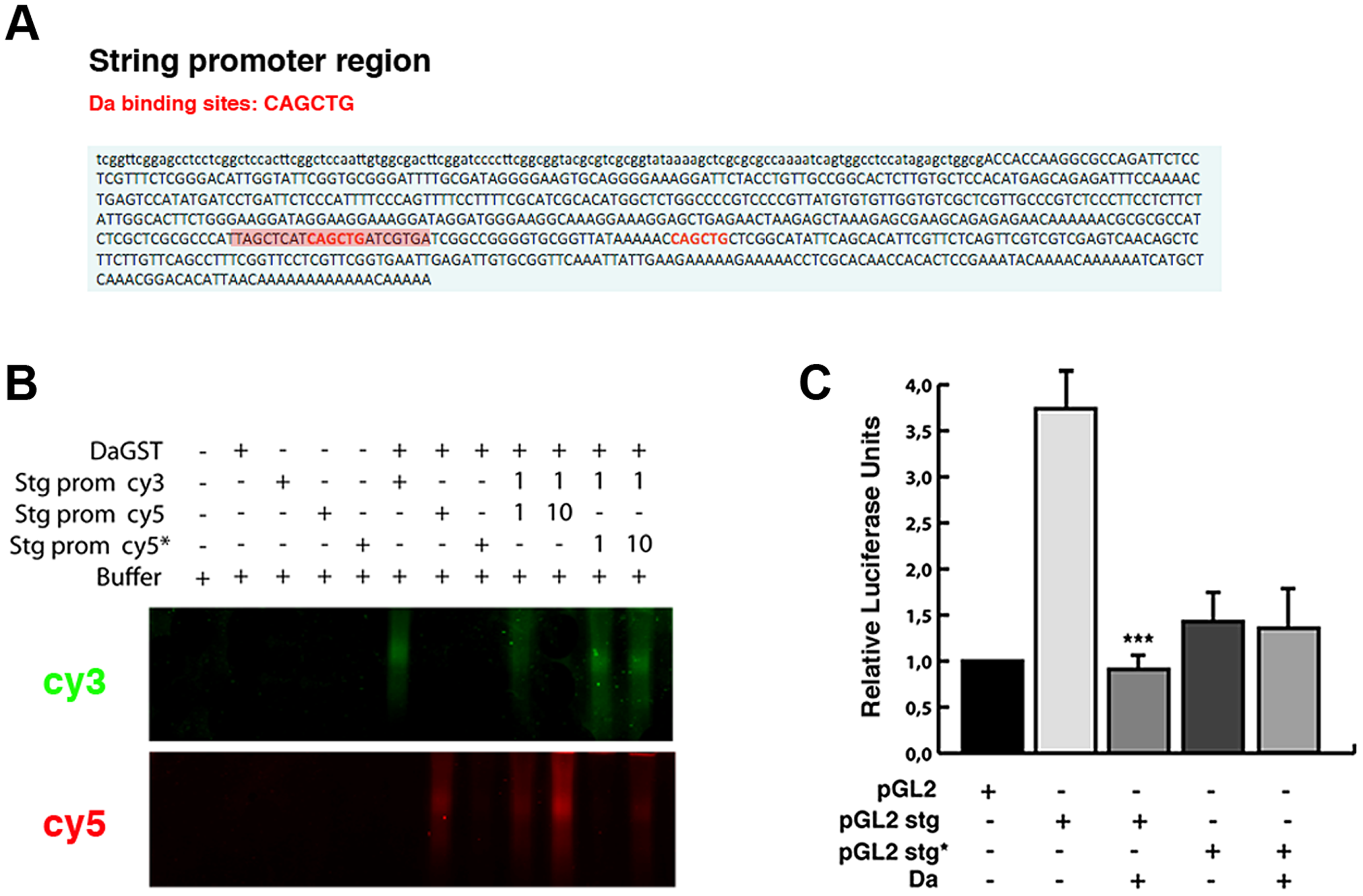 Da directly binds to the <i>string</i> promoter region and acts as a transcriptional repressor.