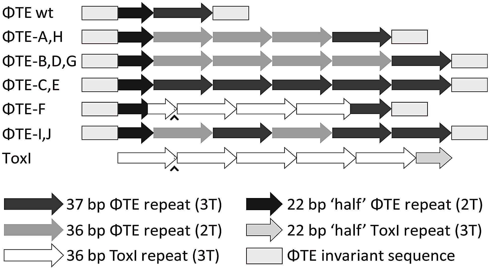 Schematic of the ΦTE-phage escape loci and ToxI.