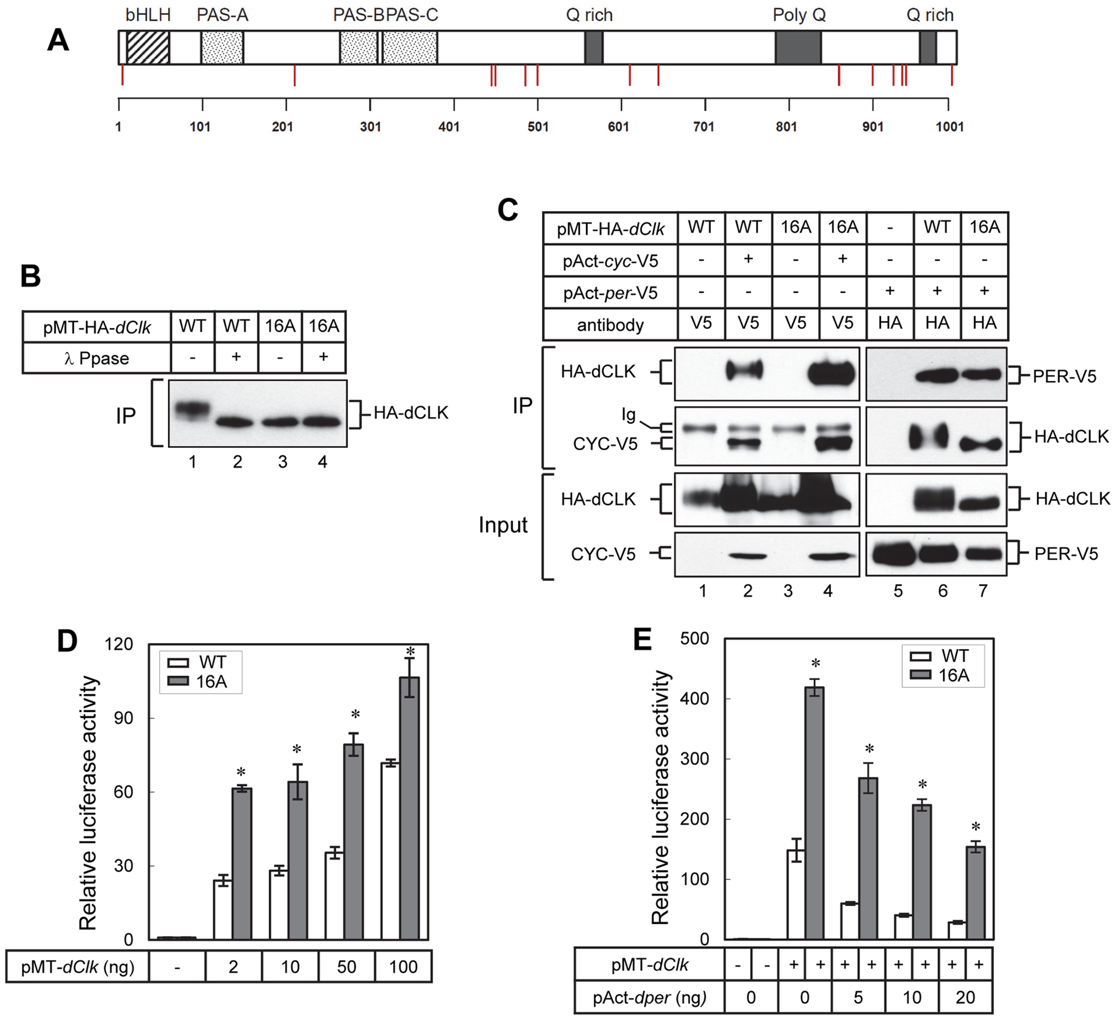 Blocking phosphorylation at multiple phospho-sites on dCLK prevents global phosphorylation but does not impair several key clock-relevant activities.