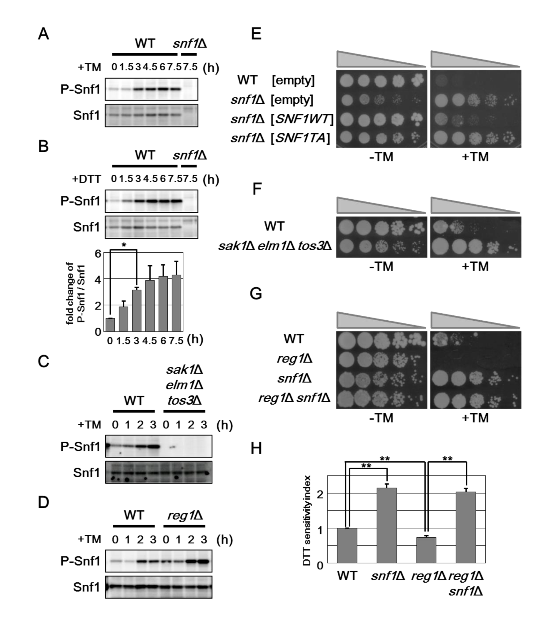 Snf1 phosphorylation is important for its role in ER stress response.