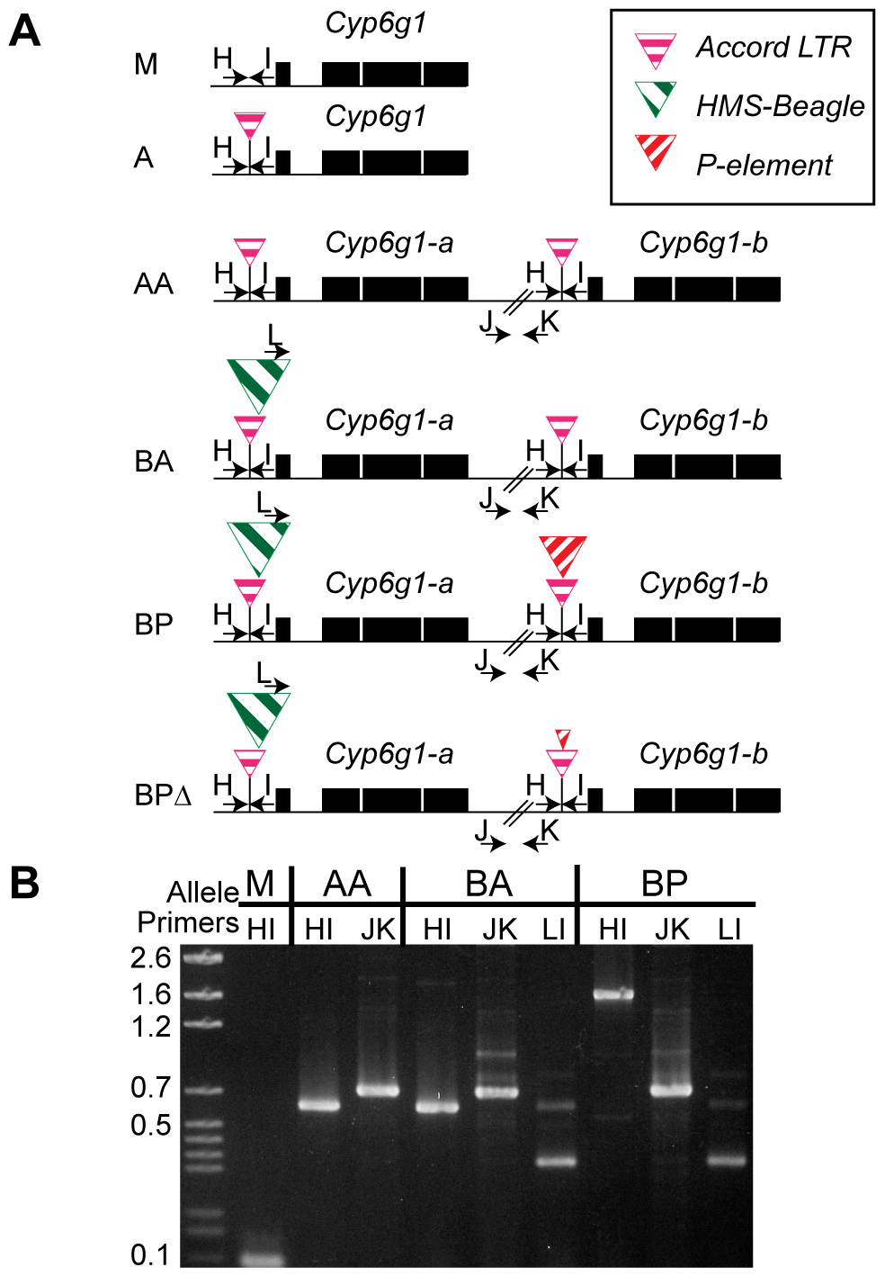 The six alleles of <i>Cyp6g1</i>.