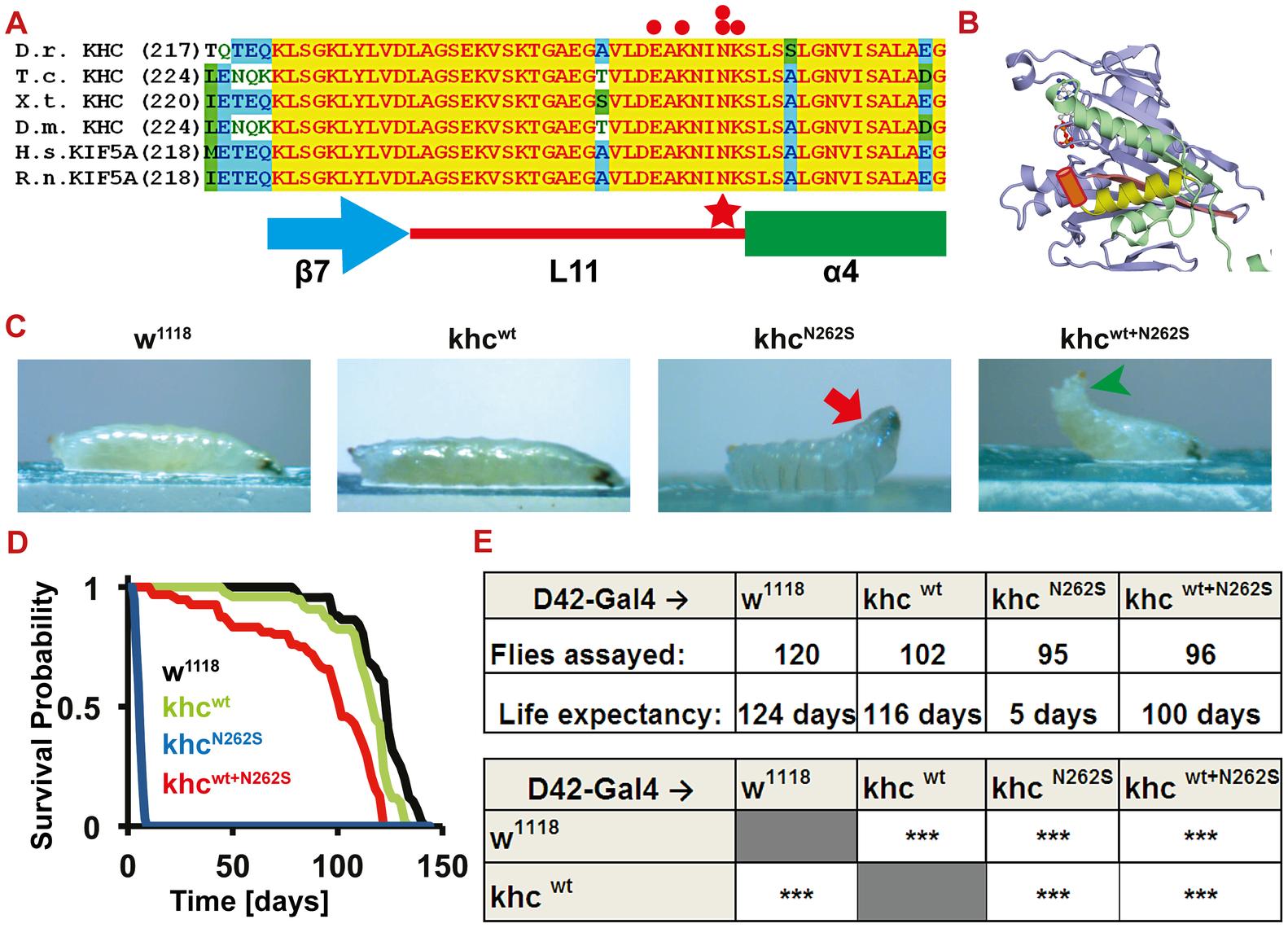Establishment of a <i>Drosophila</i> SPG 10 model.