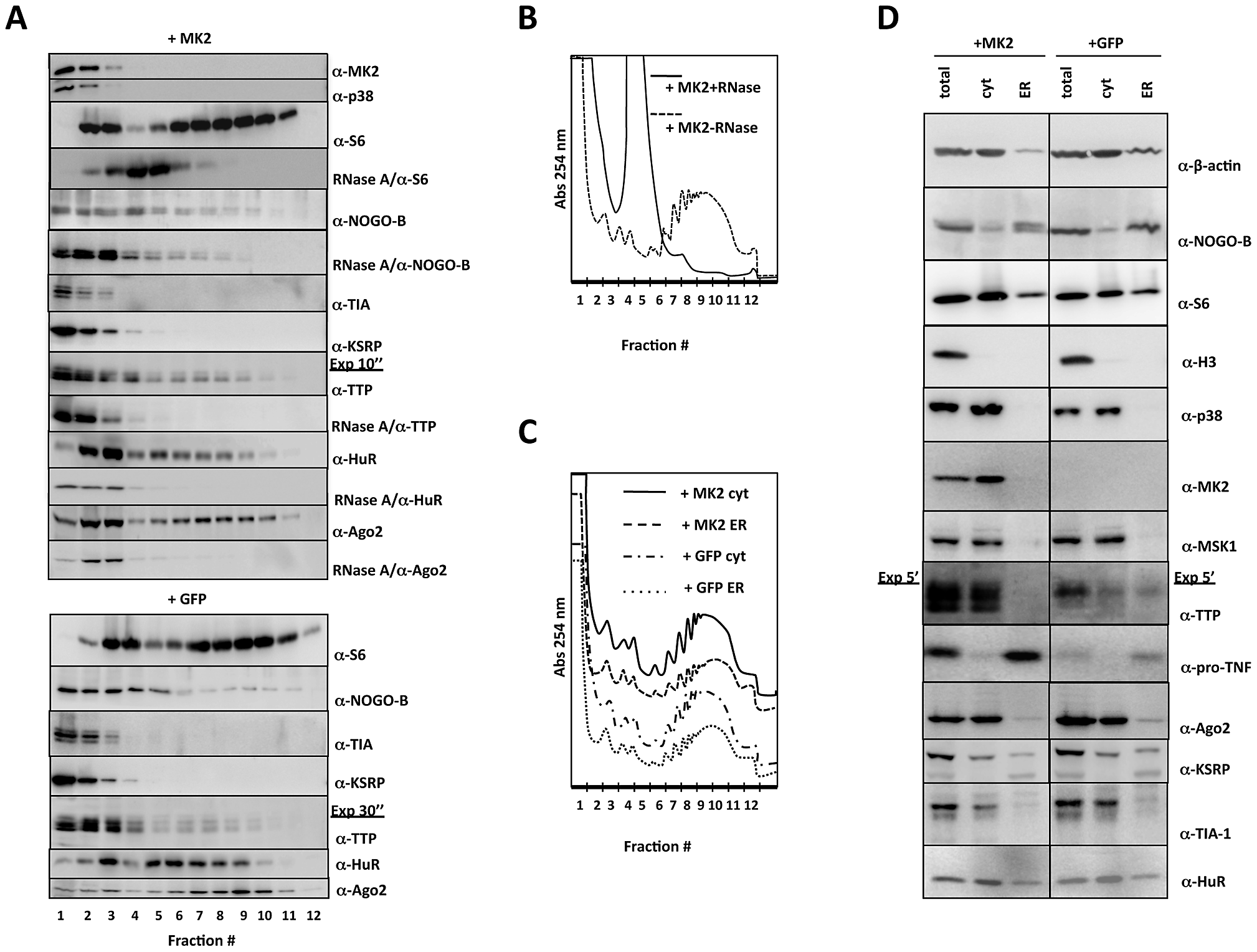 Western blot analysis of protein distribution in polysome profiling and ER/cytosolic sub-fractionation.