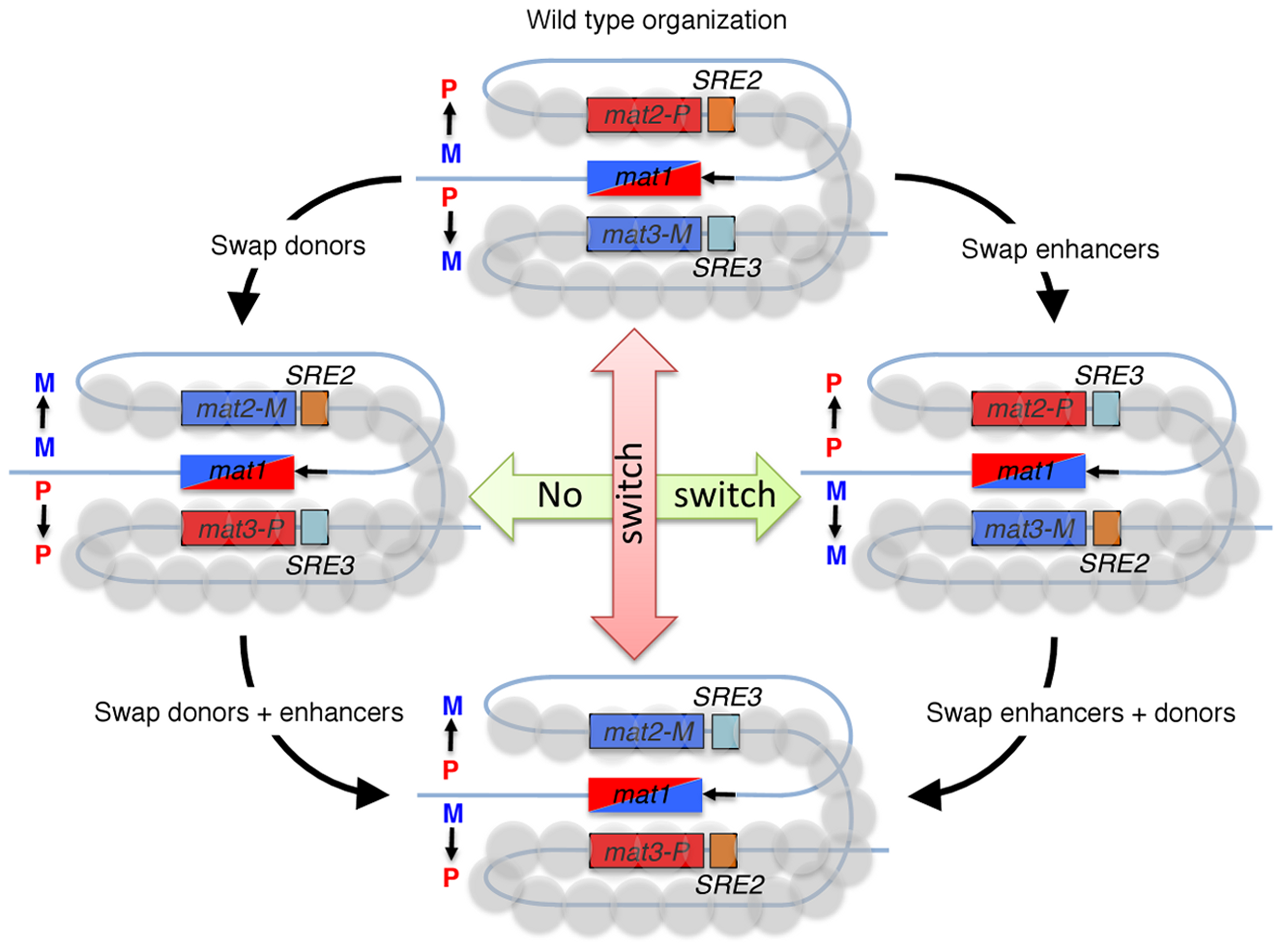 Fission yeast cells switch mating-type in a directional manner, by gene conversions of the <i>mat1</i> locus.