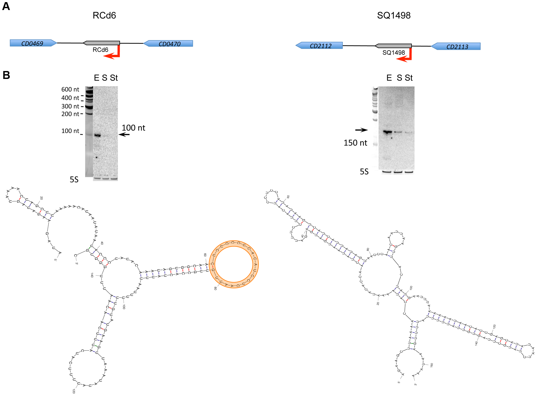 Expression analysis and secondary structure prediction of growth phase-regulated sRNAs.