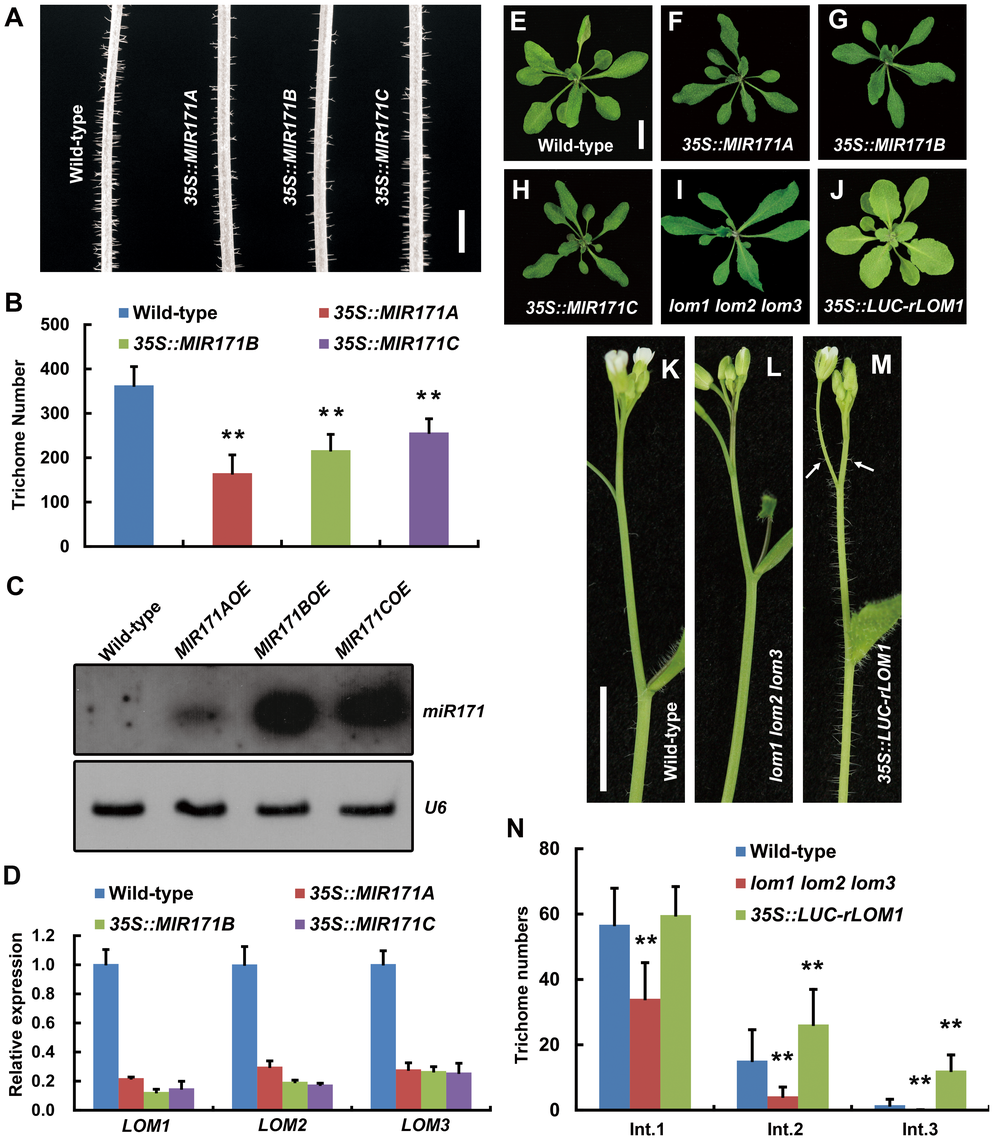MiR171-LOMs regulate trichome initiation.