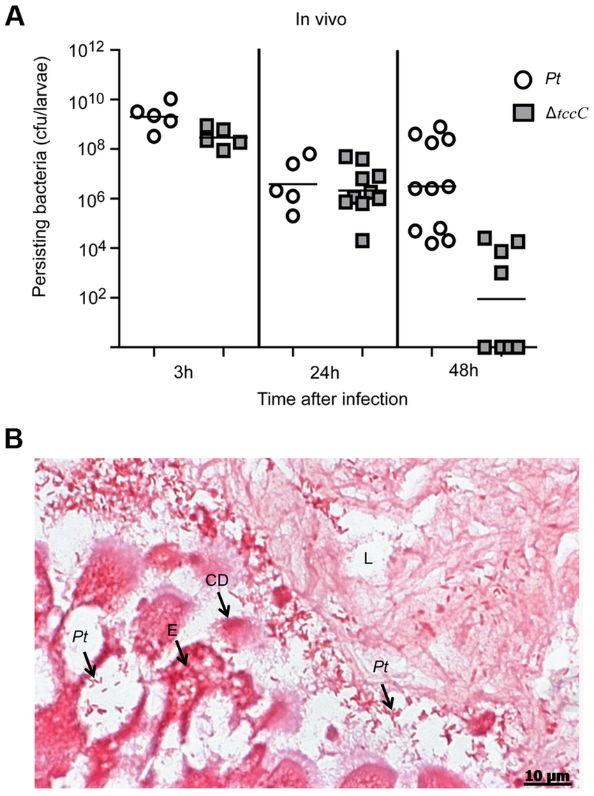 TccC is instrumental in <i>P. taiwanensis</i> persistence in the gut of <i>P. xylostella</i> and in invasion of the epithelium cells.