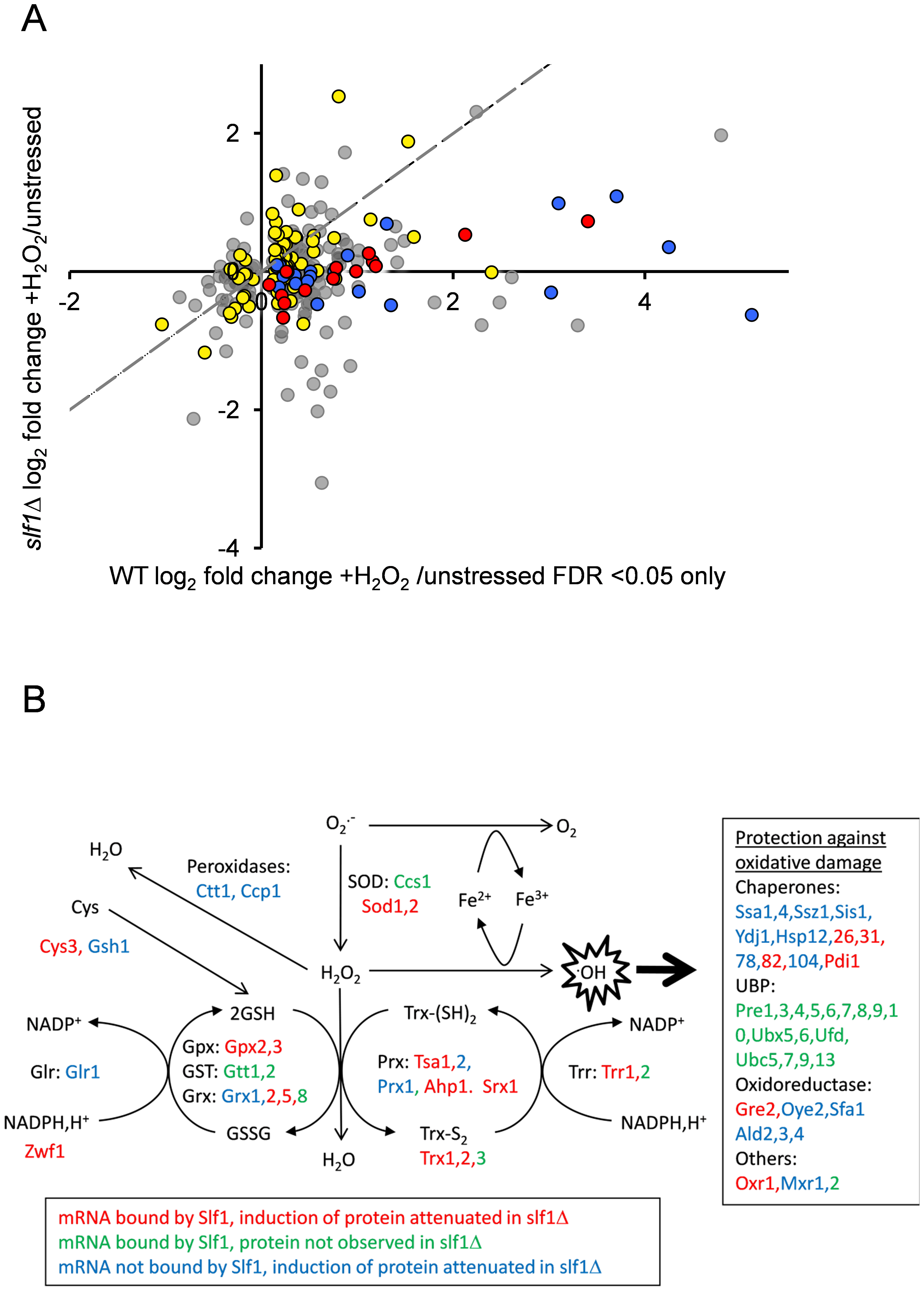 Slf1p is required for oxidative stress gene expression during oxidative stress conditions.