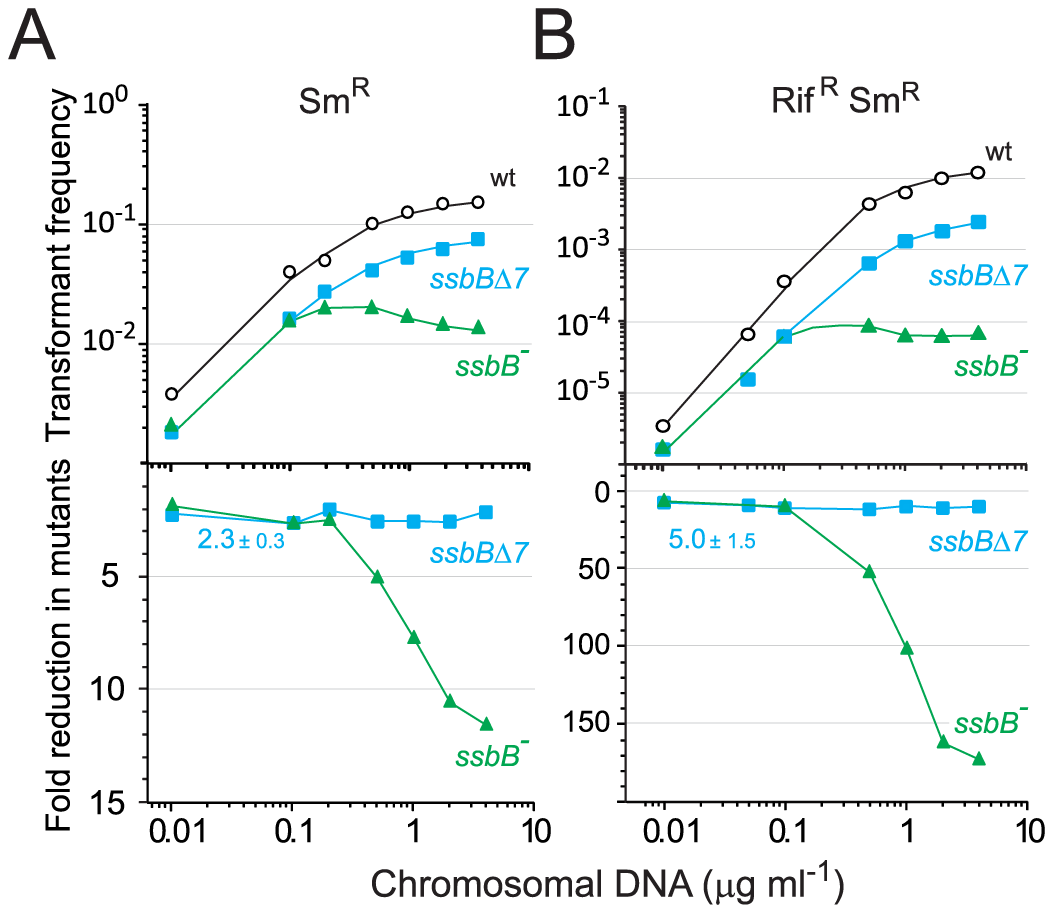 Single and double transformation frequency in wildtype, <i>ssbB<sup>−</sup></i>, and <i>ssbB</i>Δ<i>7</i> cells.