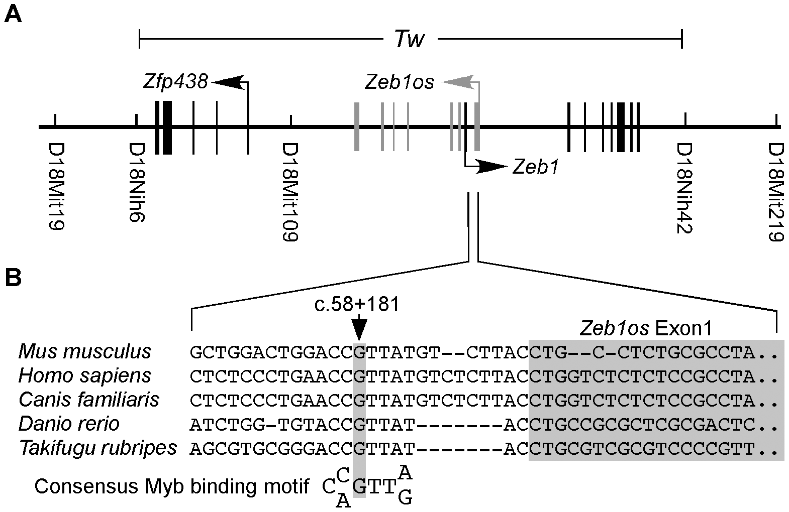 Linkage mapping and identification of <i>Tw</i> mutation.