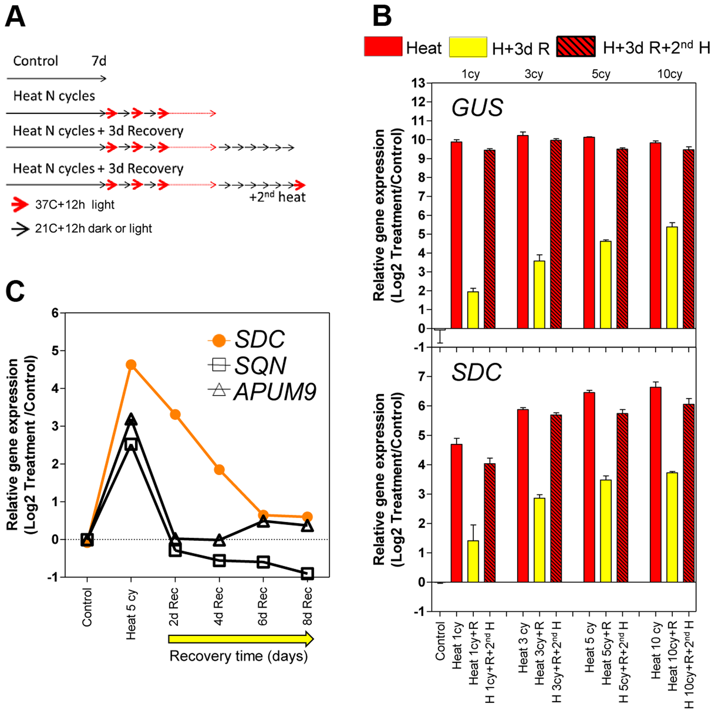 Transcriptional memory of the heat-induced <i>SDC</i> activation state.