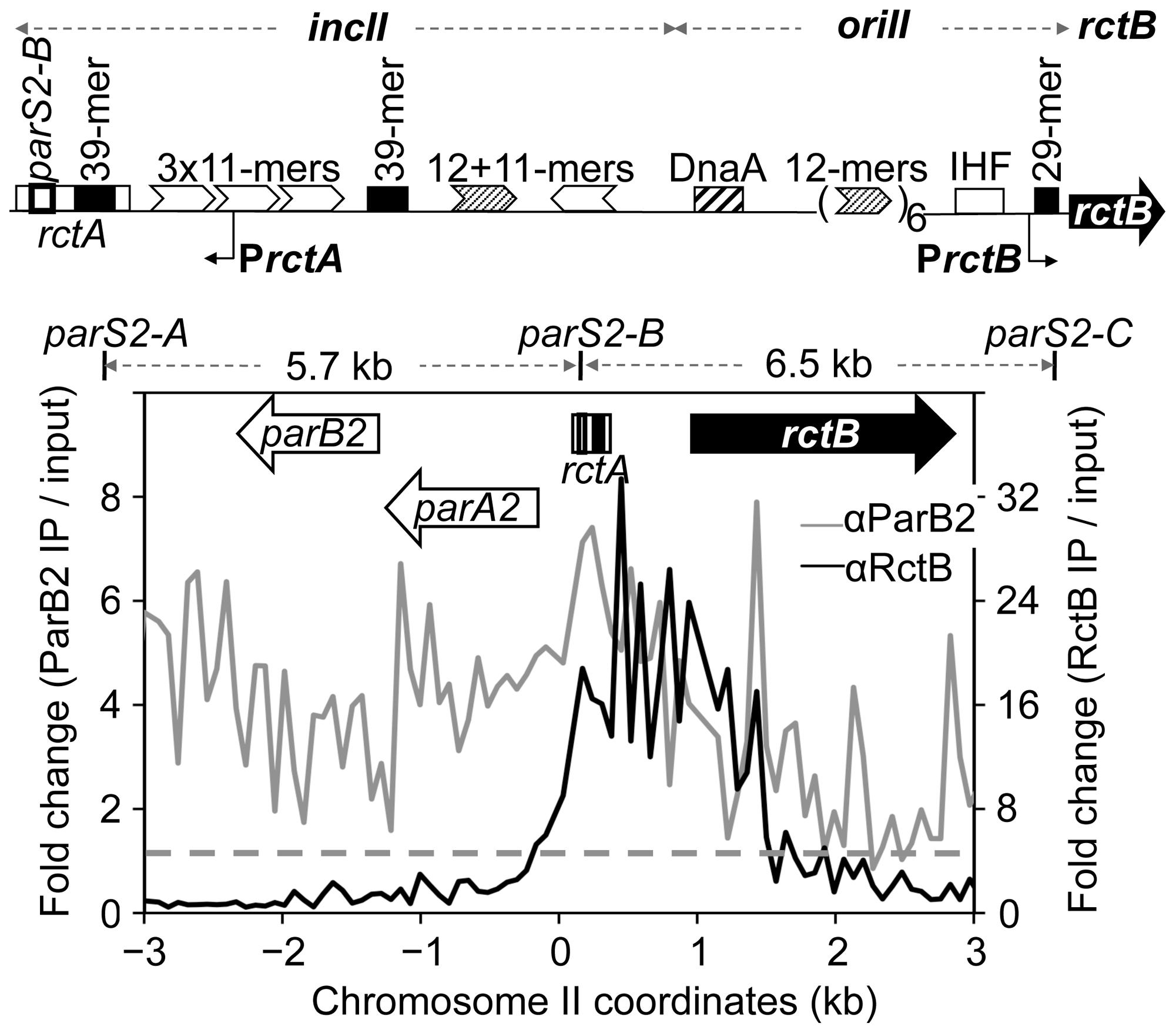 ParB2 spreads into the replication origin of <i>V. cholerae</i> chromosome II (chrII).