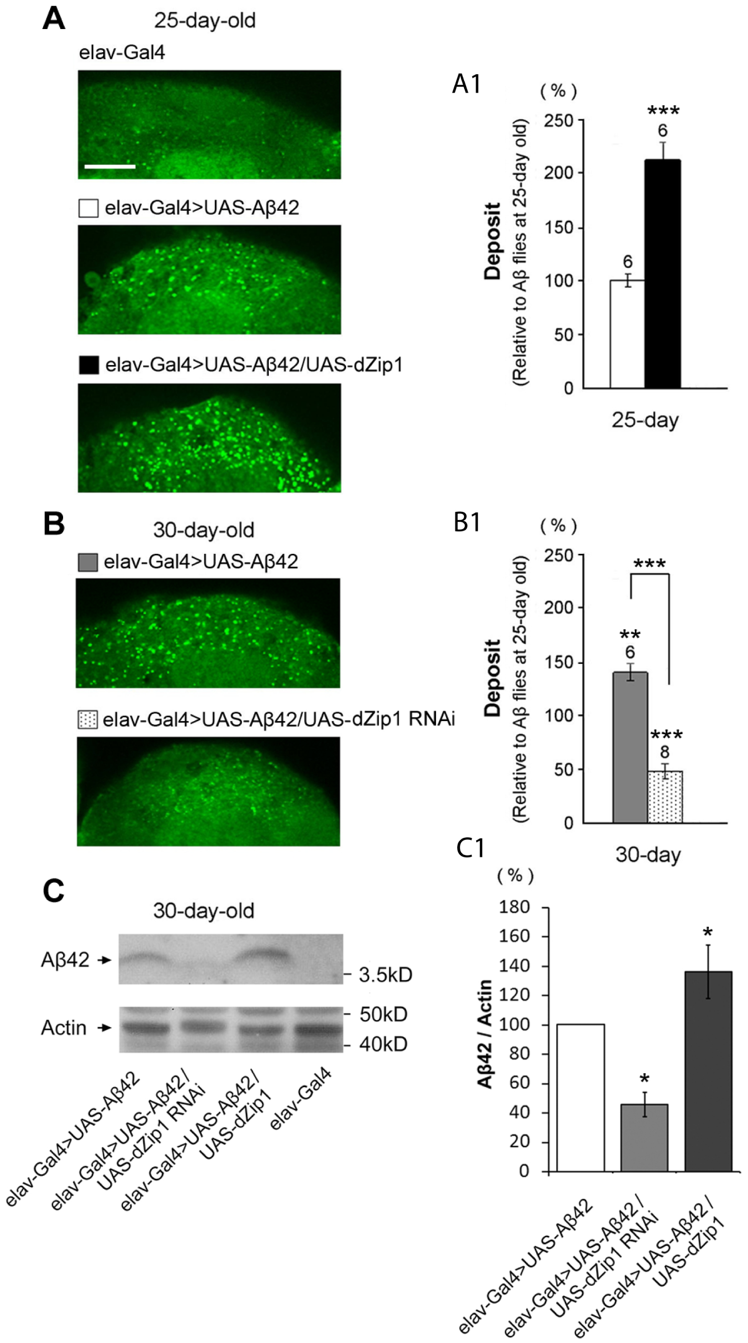 <i>dZip1</i> inhibition reduces the accumulation of Aβ42 fibril deposits as well as the SDS-soluble form.