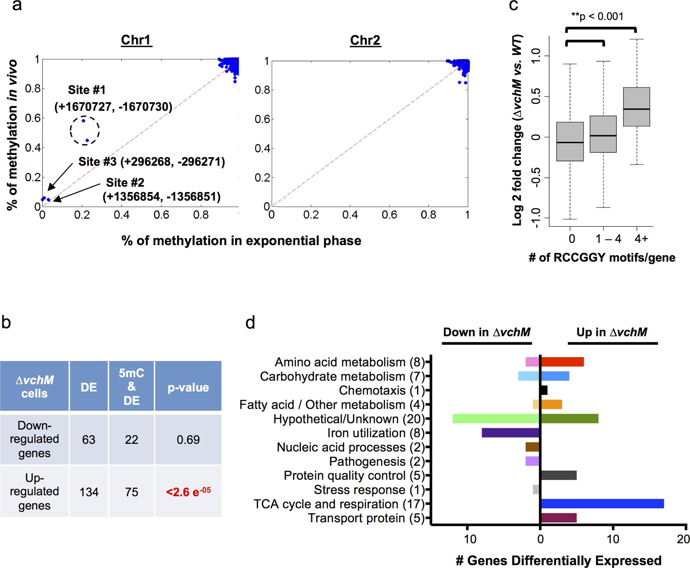 <i>V</i>. <i>cholerae</i> cytosine methylation and its associations with gene expression.