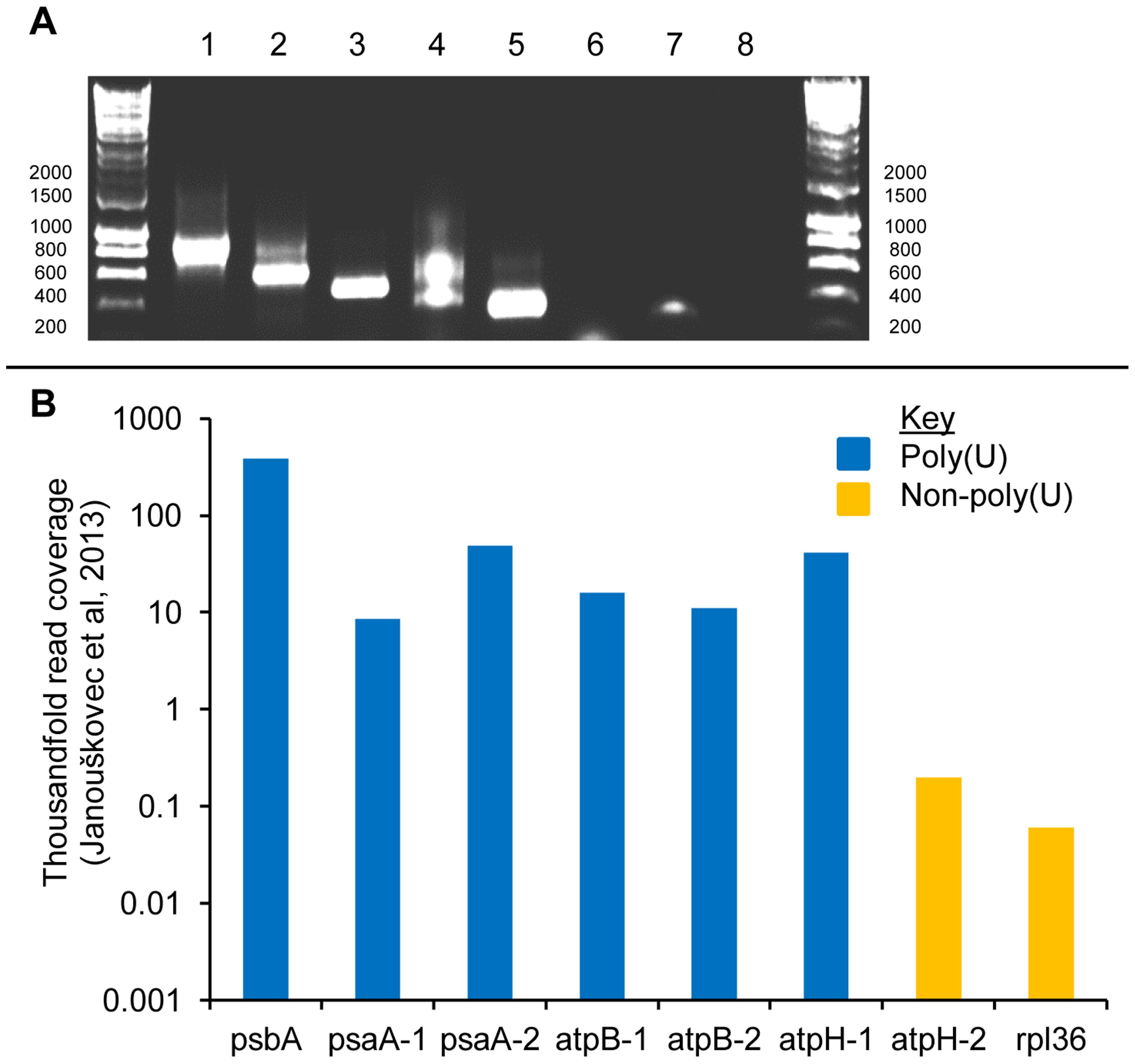 Polyuridylylation of duplicated photosynthesis gene transcripts in the <i>Chromera velia</i> chloroplast.