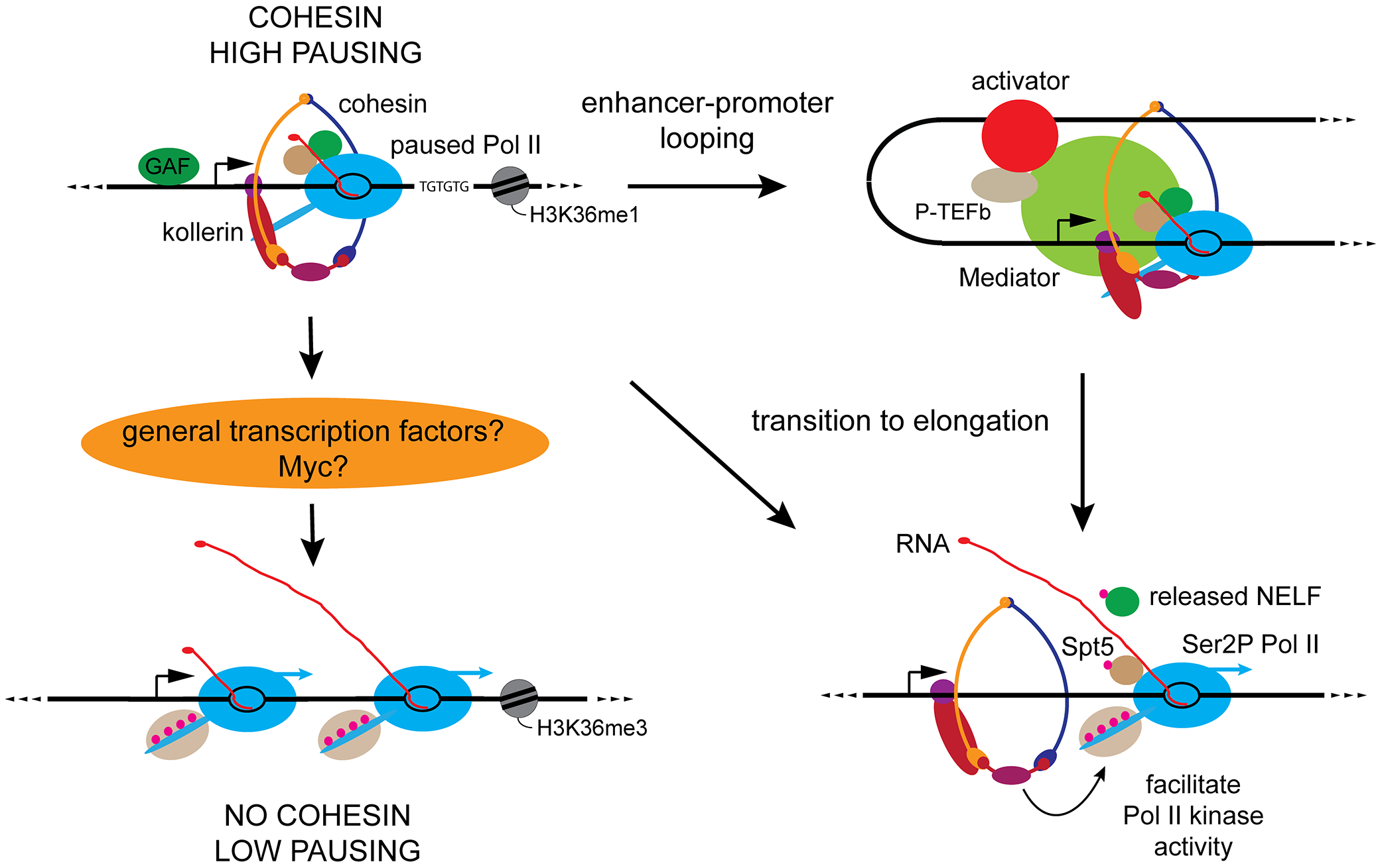 Key features of cohesin-binding genes and proposed roles for cohesin in genome-wide control of Pol II activity.