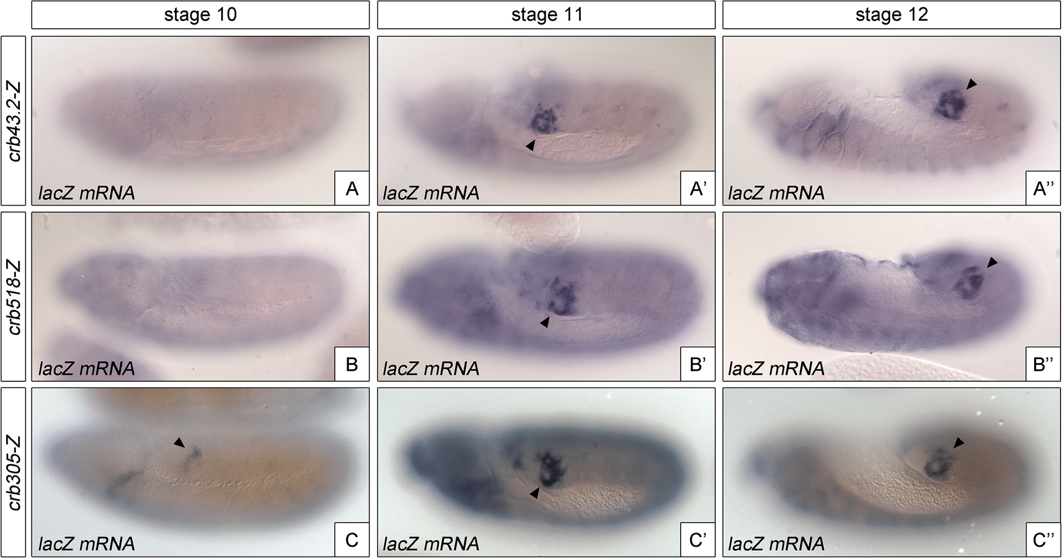 The repressor module regulates the temporal activation of <i>crb518</i>.