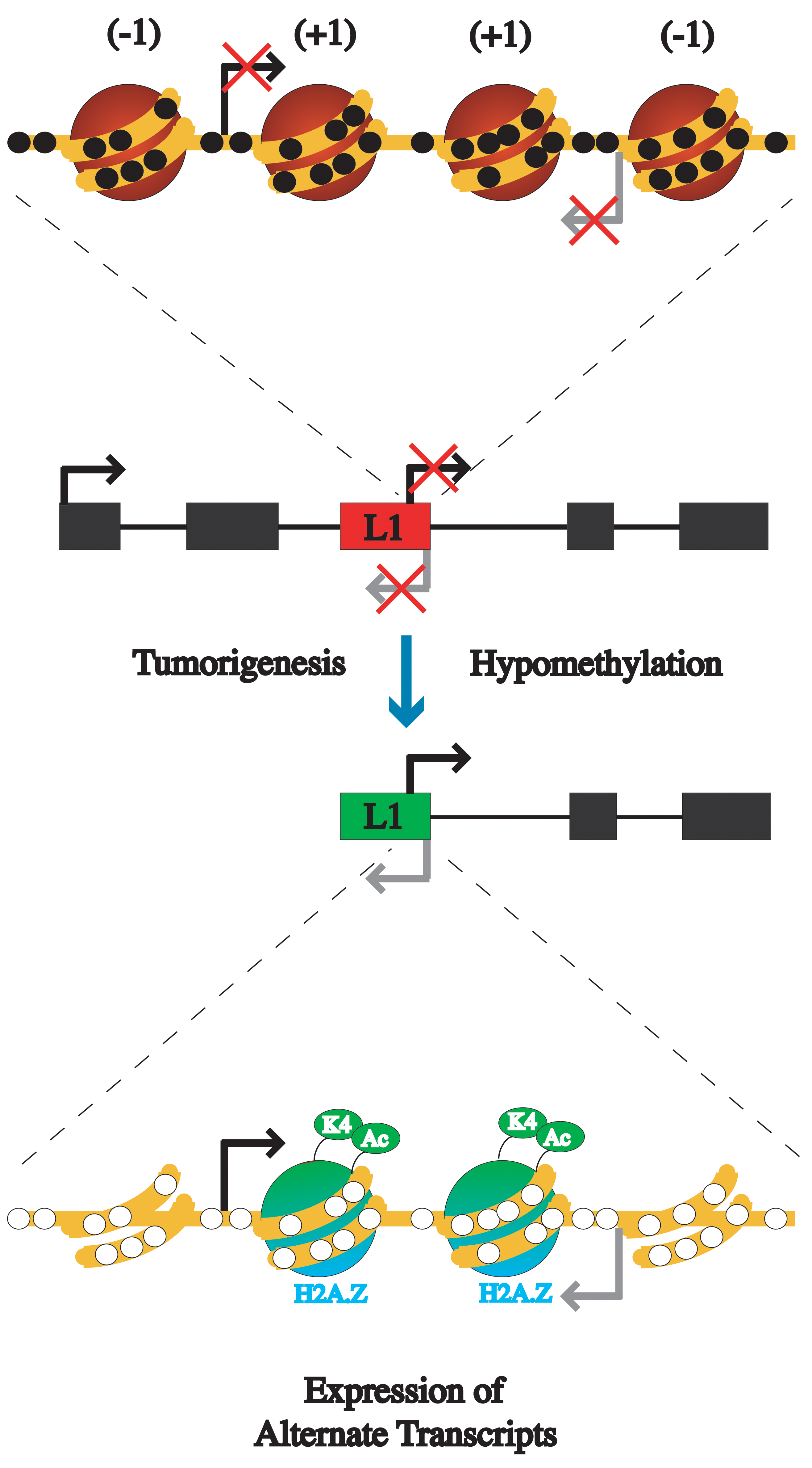 Model of the epigenetic alterations that occur between inactive L1s and active L1s during tumorigenesis.