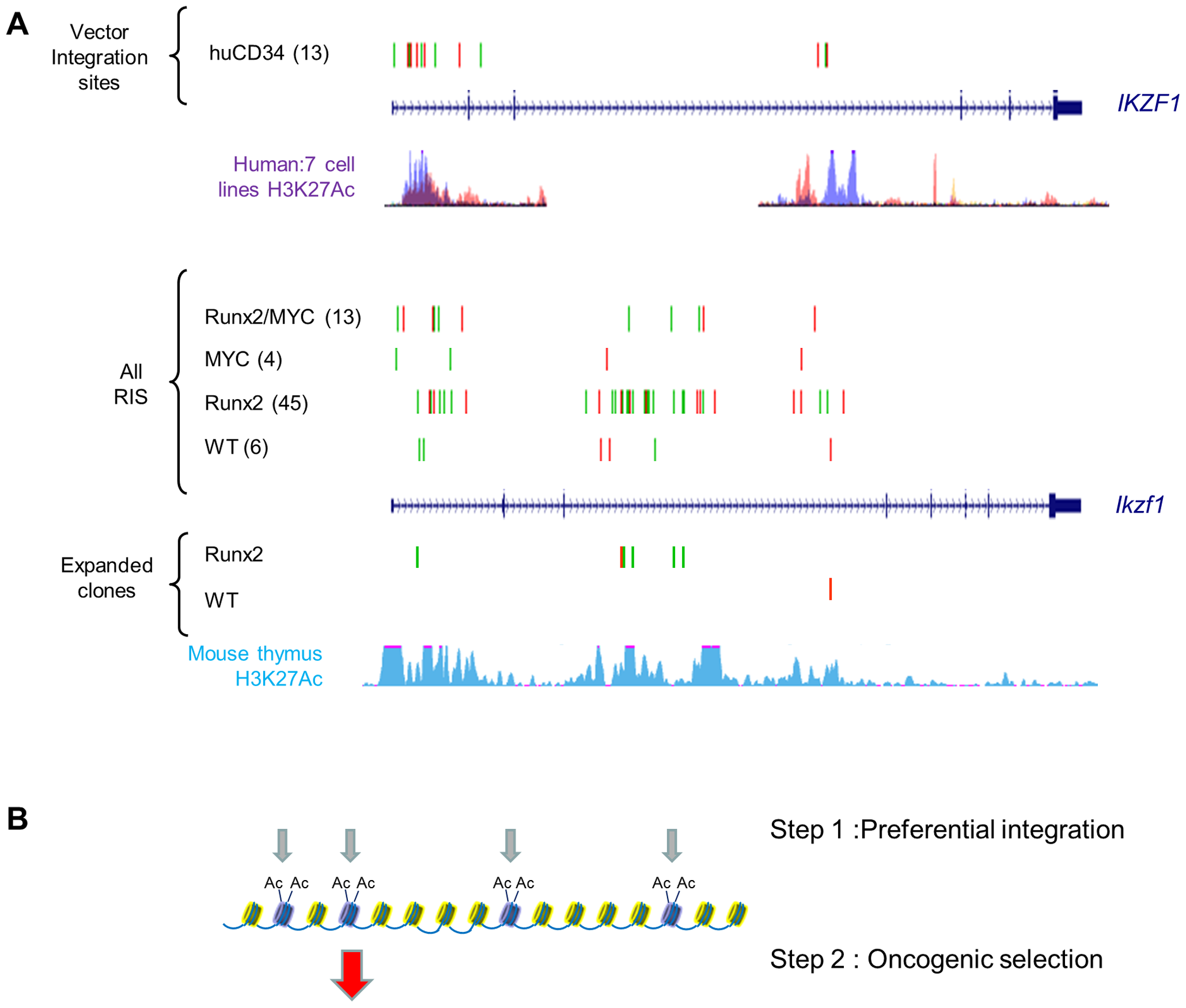 Insertions at <i>Ikzf1</i> display dual features of preferential integration and oncogenic selection.