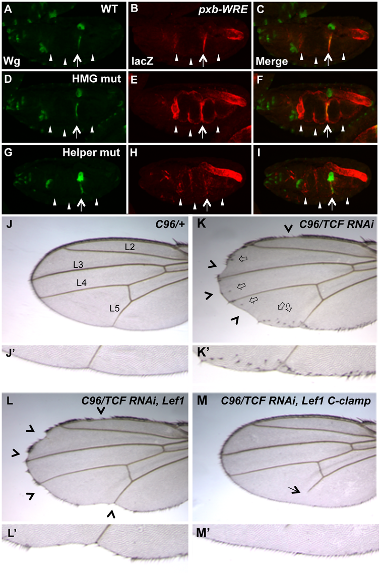 Helper sites and the C-clamp are not required for basal repression of Wg targets in <i>Drosophila</i>.