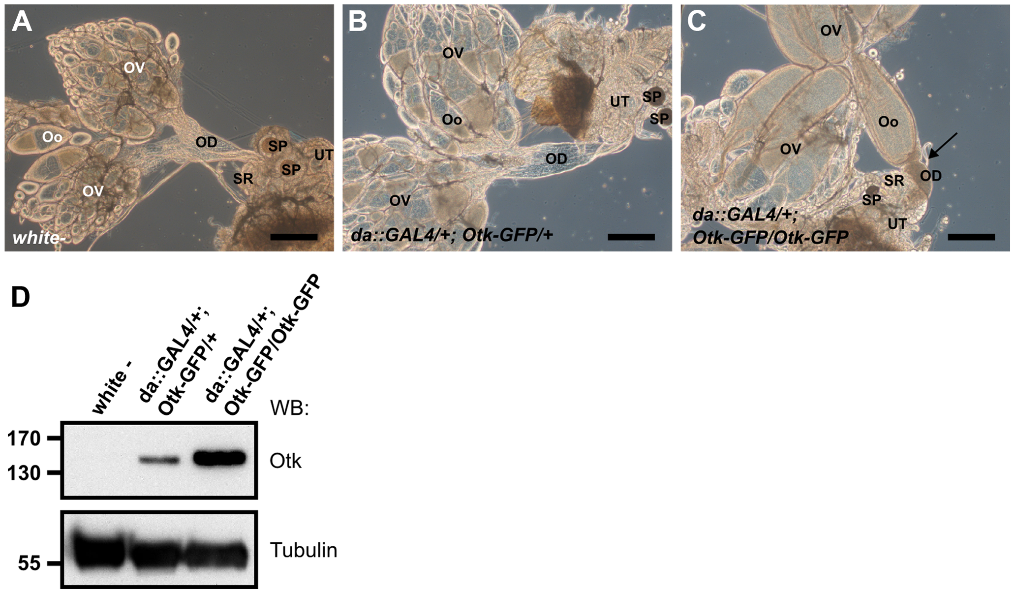 Otk-GFP overexpression causes defective morphogenesis of the oviduct.
