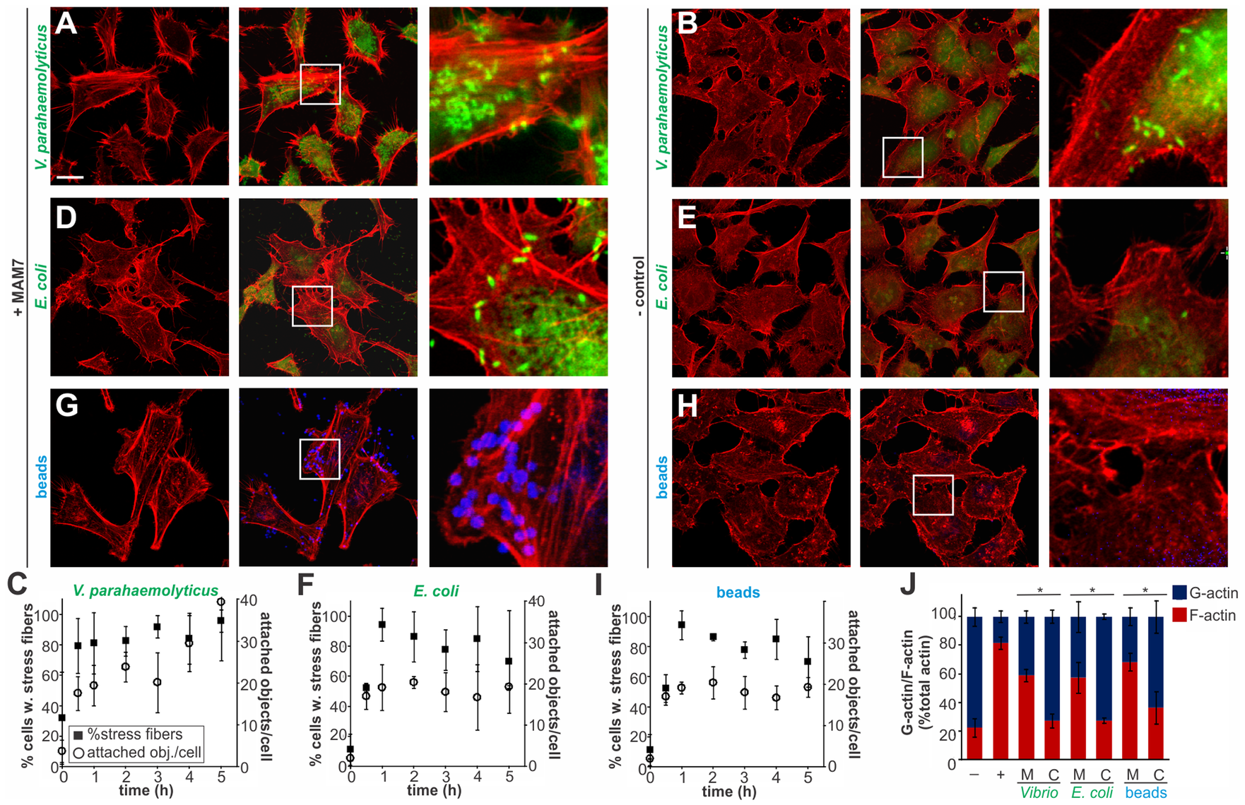 Clustering of MAM7 adhesin causes sustained actin rearrangements in host cells.
