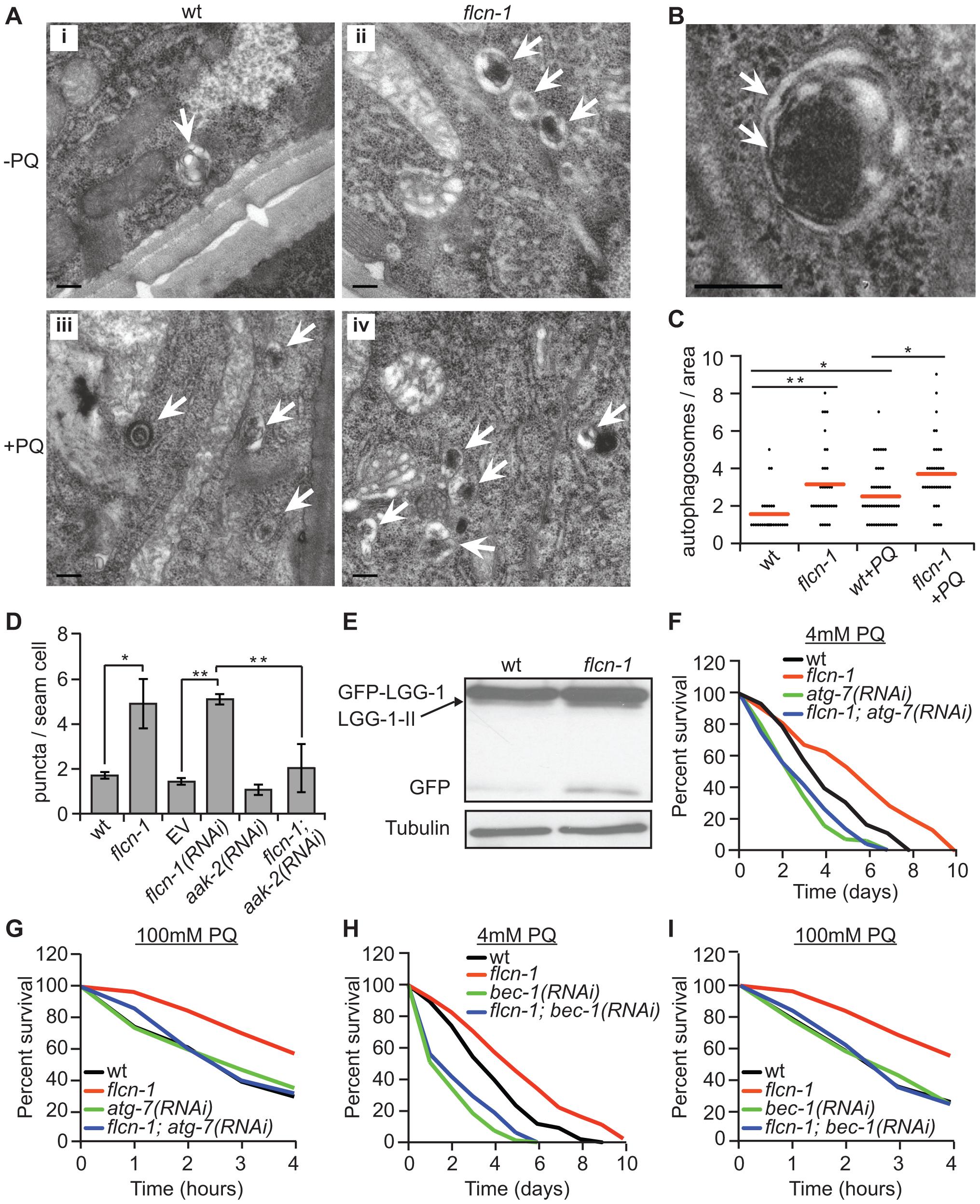 Loss of <i>flcn-1</i> activates autophagy resulting in oxidative stress resistance in <i>C. elegans</i>.