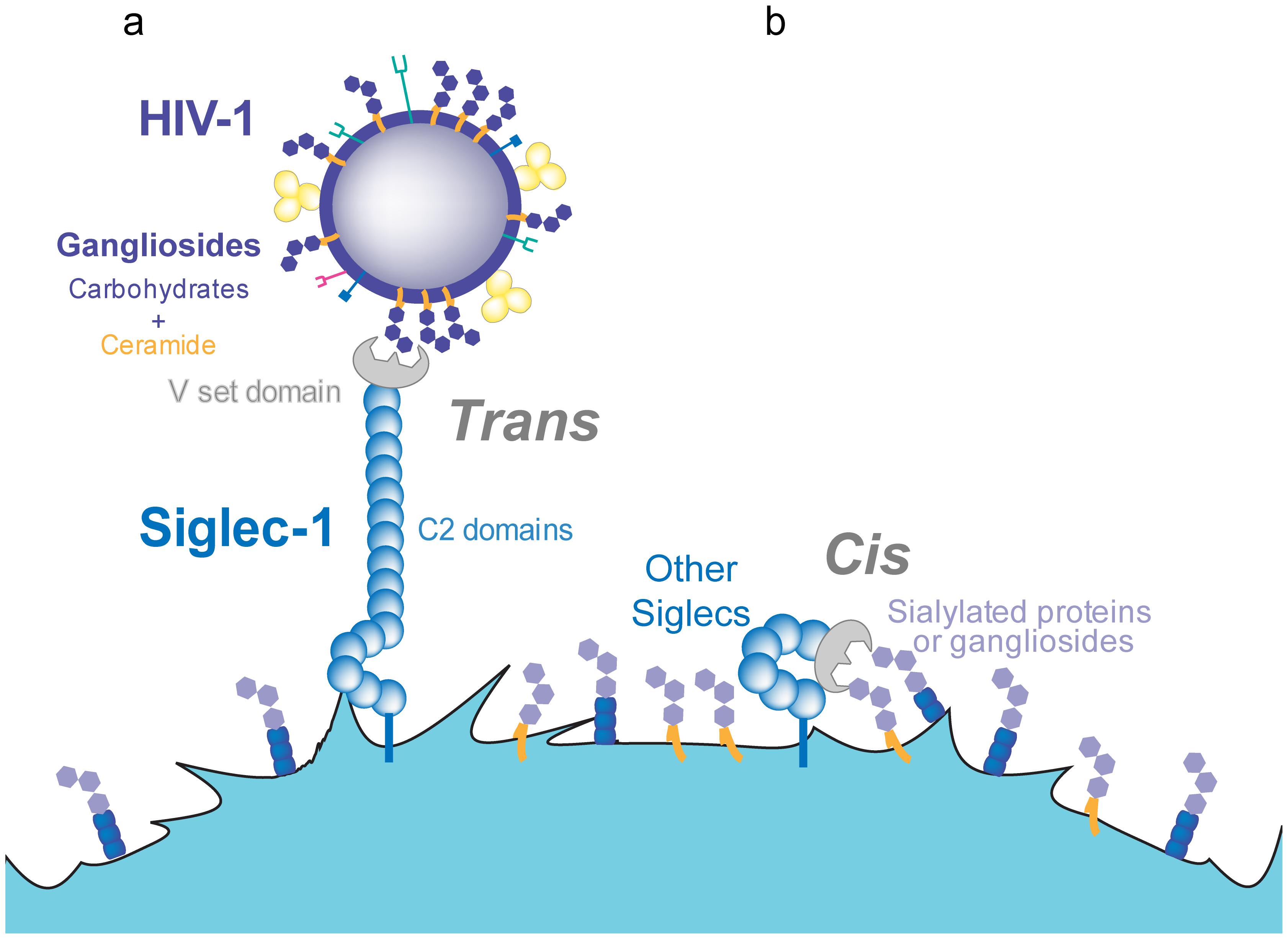 <i>Trans</i> and <i>cis</i> recognition of Siglec-1 ligands.