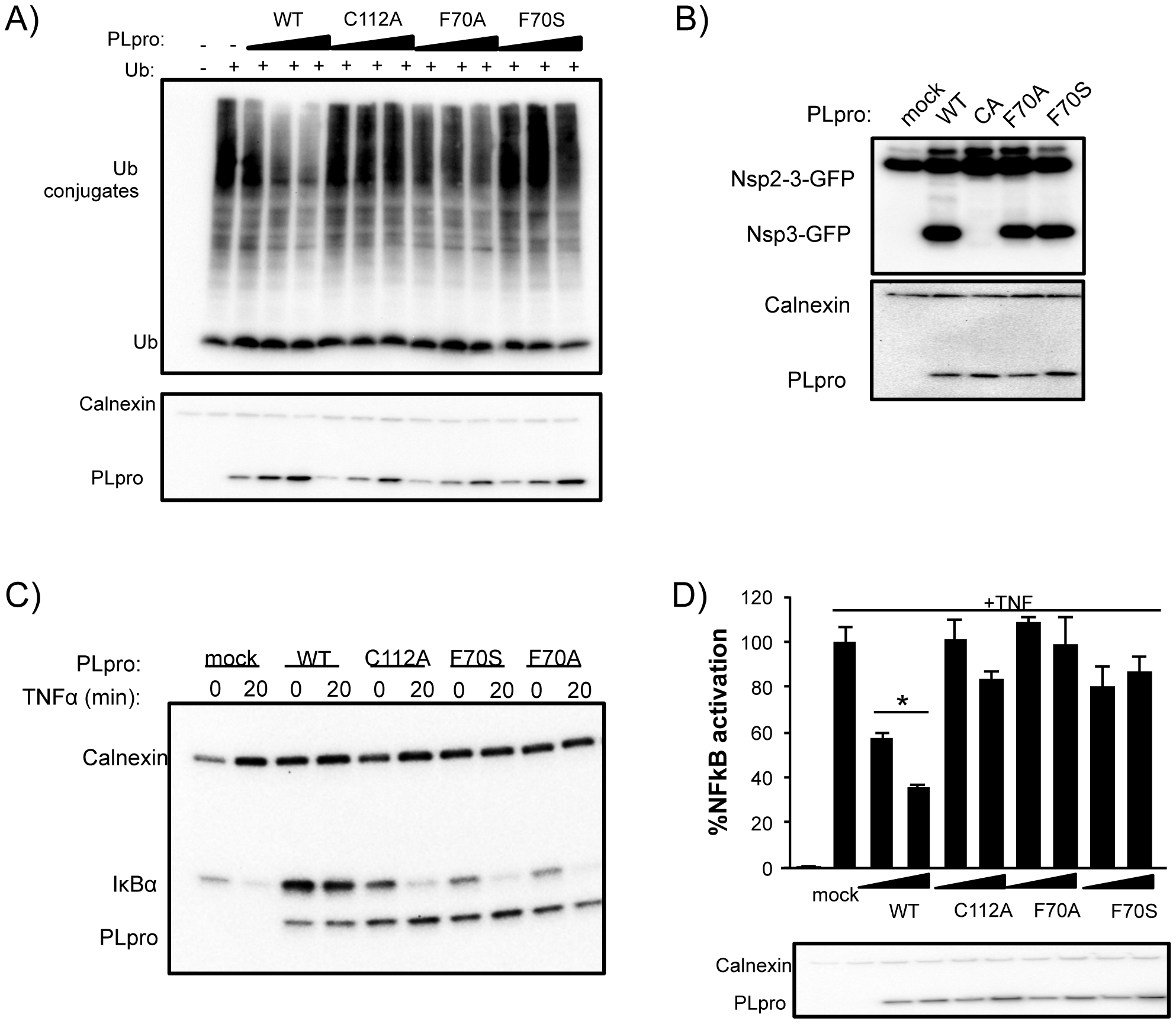 Deubiquitinating activity and NF-κB antagonism are reduced by mutation of SARS-CoV PLpro residue F70.
