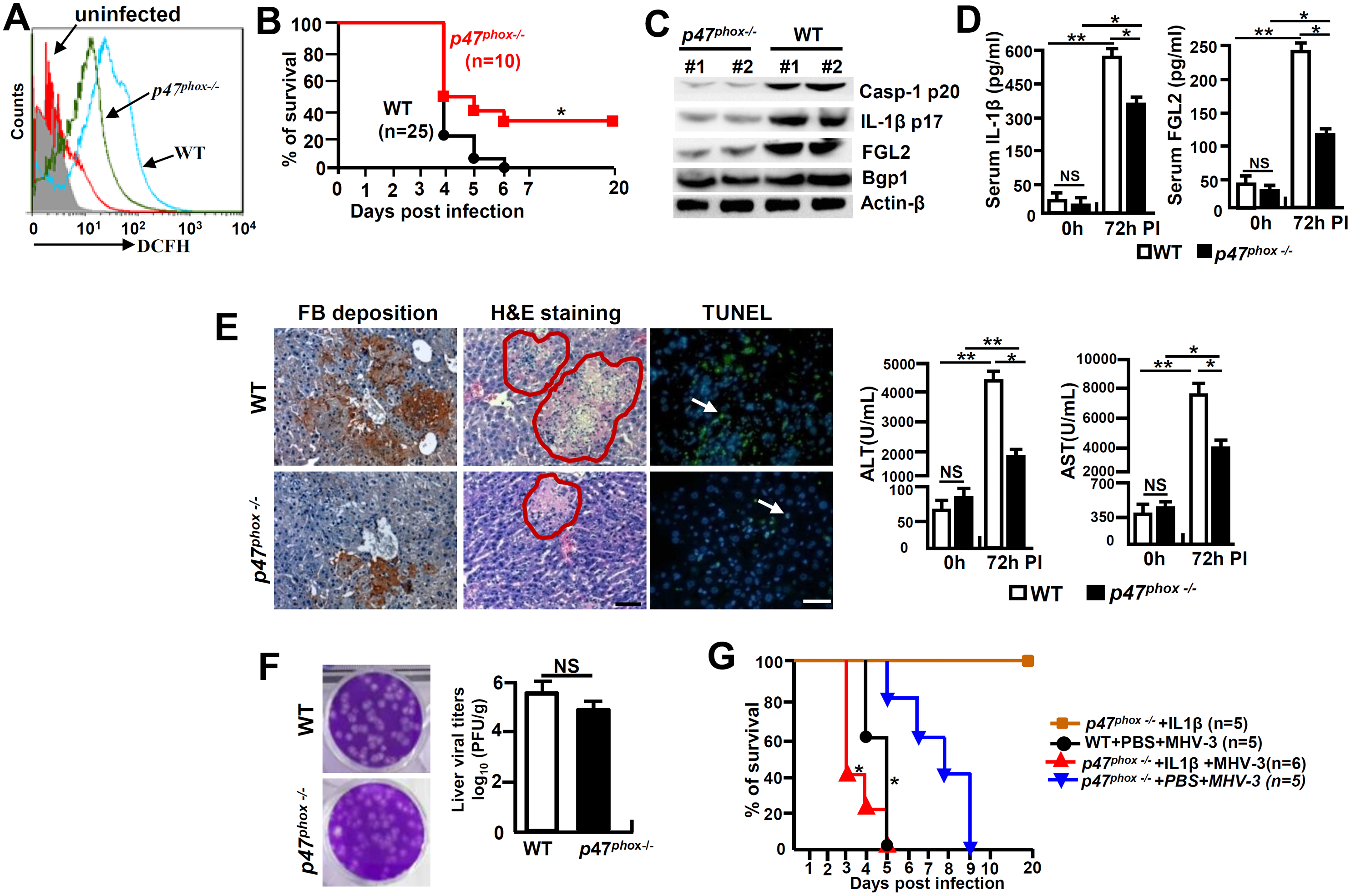 <i>p47</i><sup><i>phox</i></sup> deficiency limited NLRP3 inflammasome activation and attenuated MHV-3 mediated hepatitis.