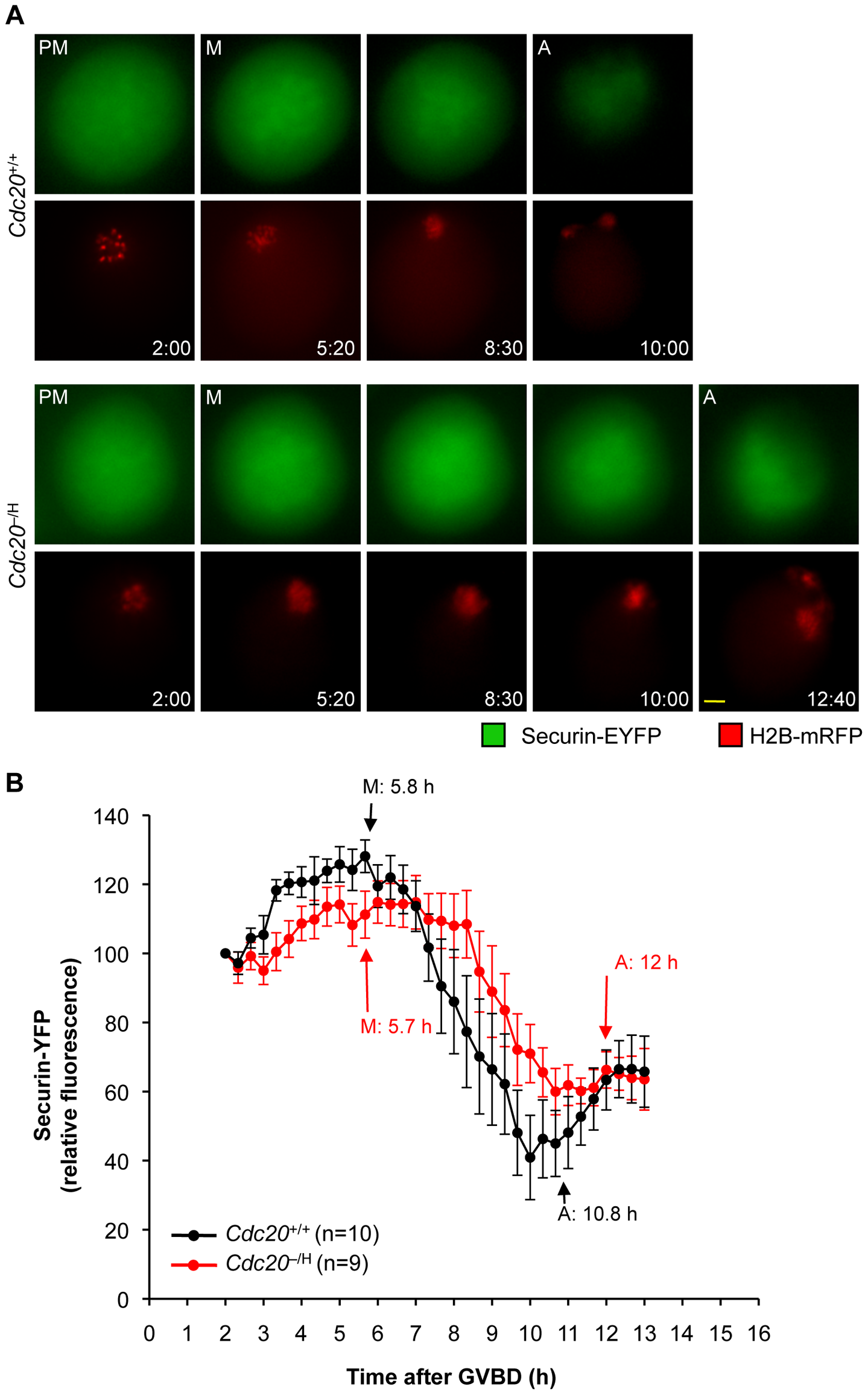 <i>Cdc20</i><sup>−/H</sup> oocytes have impaired securin destruction in metaphase I.