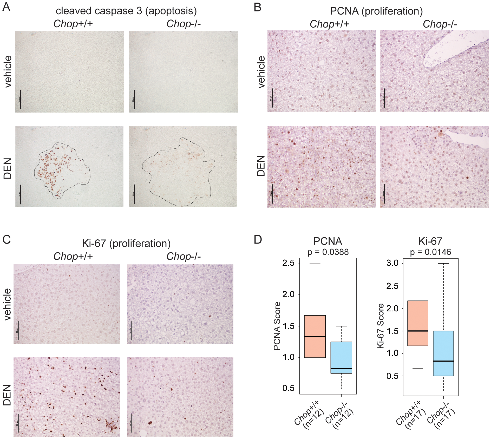 CHOP promotes hepatocellular apoptosis and proliferation.