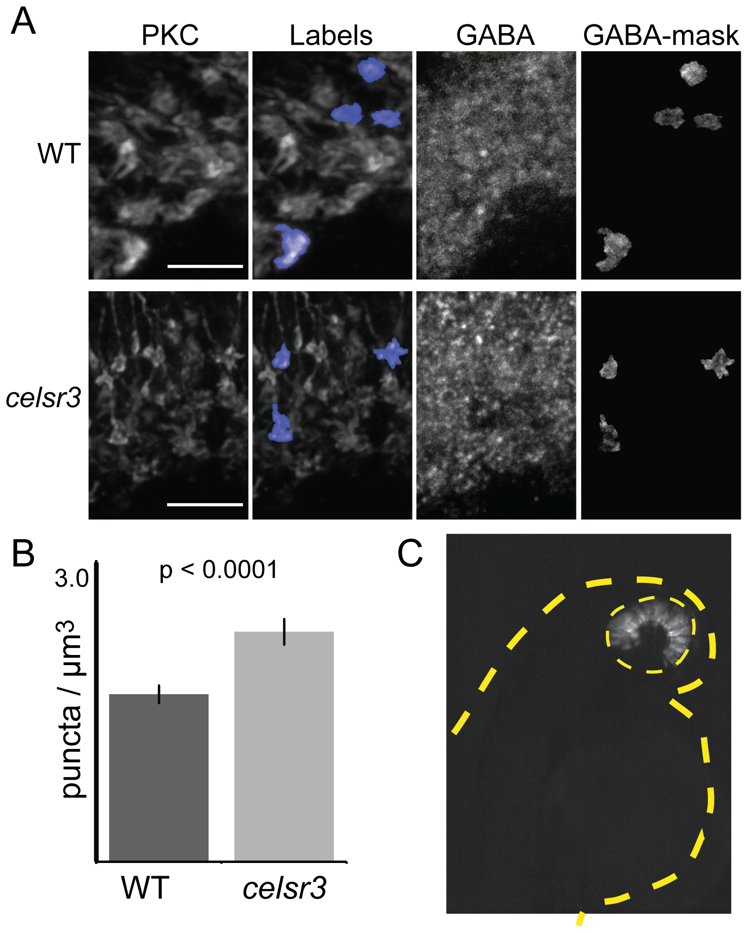 The number of GABA receptor puncta is increased on <i>celsr3</i> mutant ON-bipolar terminals.