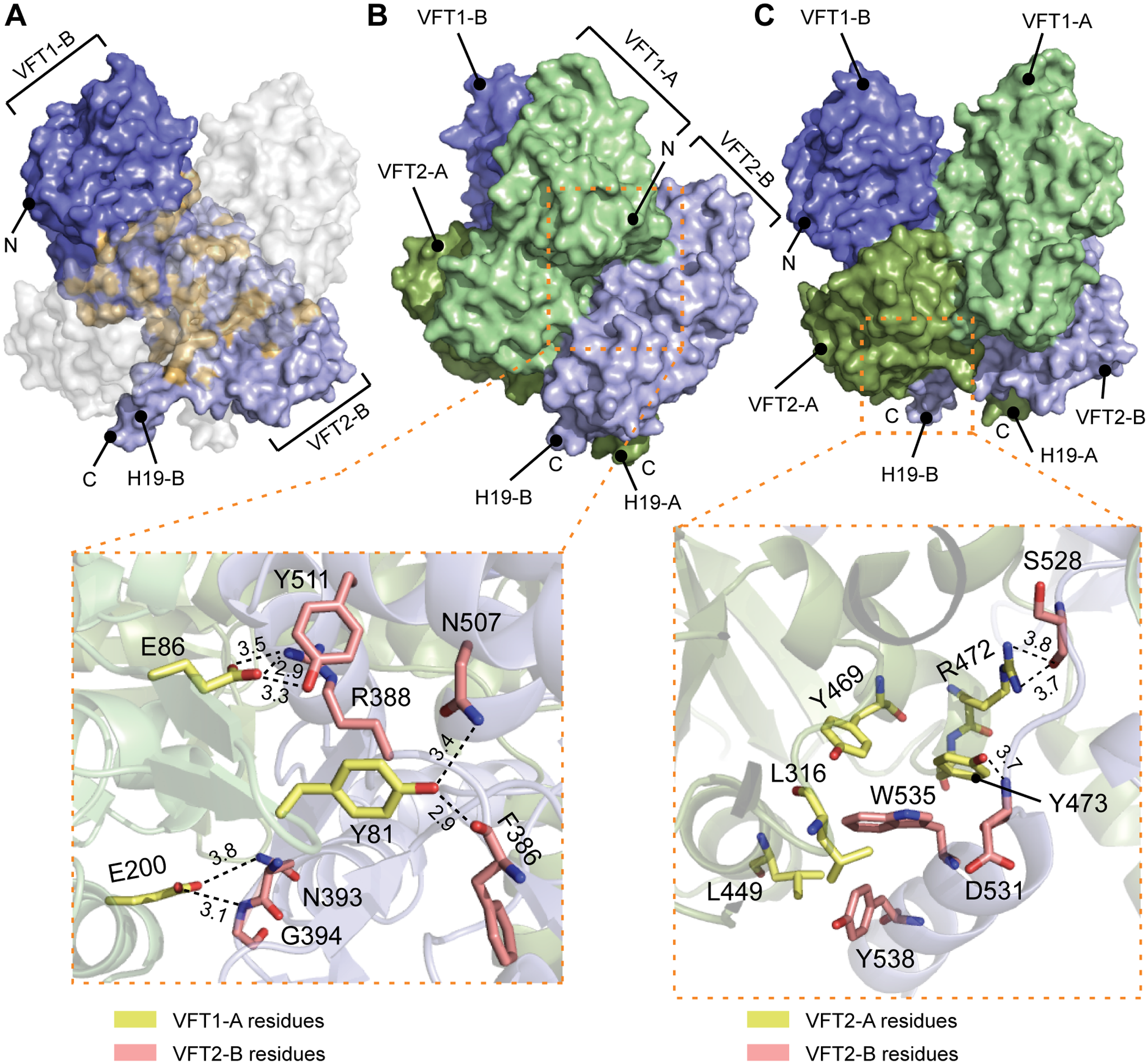 Interfaces between the VFT domains important for the kinase-on state.
